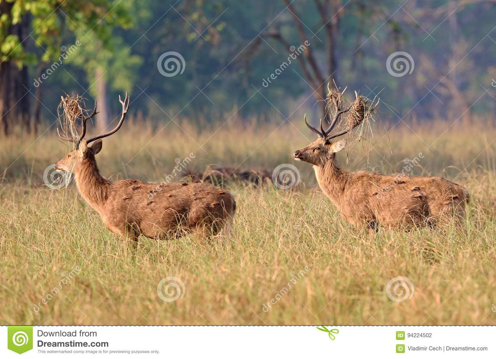 cerfs-communs-de-barasingha-dans-l-habit