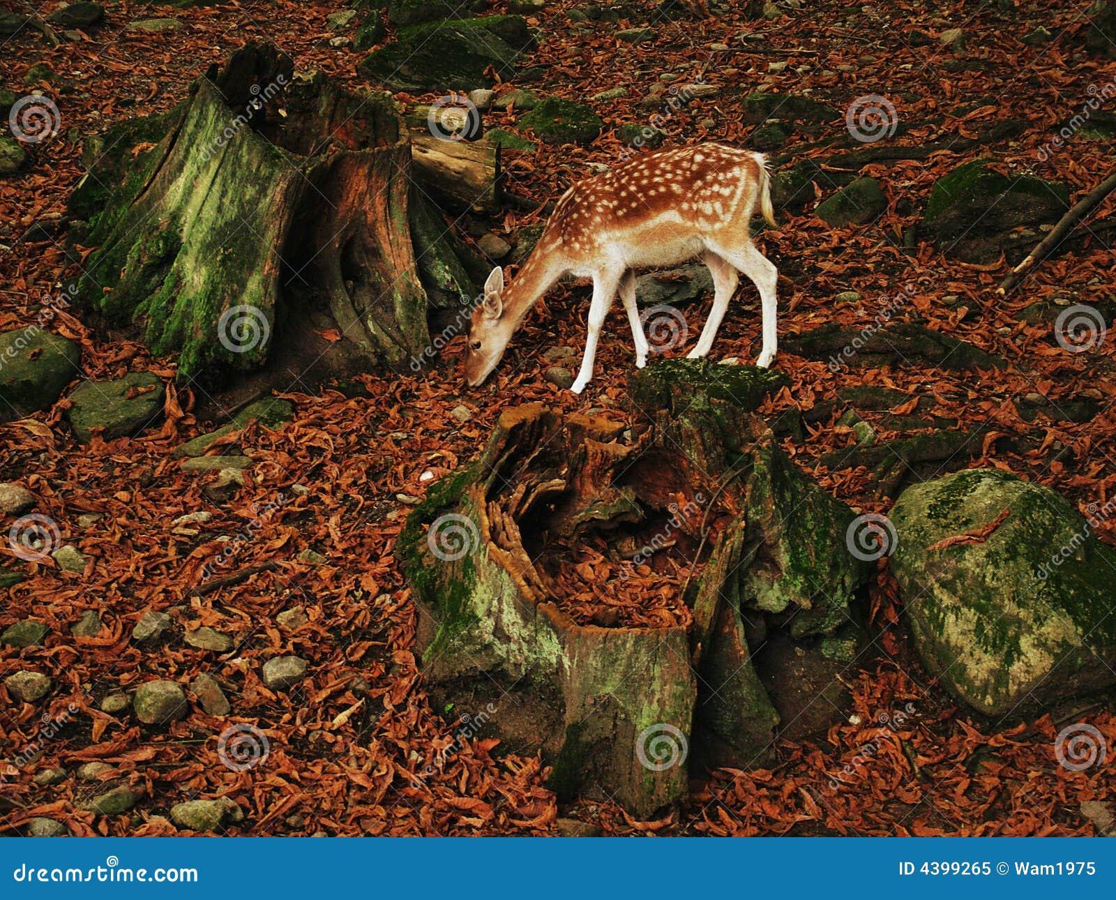 Cerfs communs de faon dans la forêt