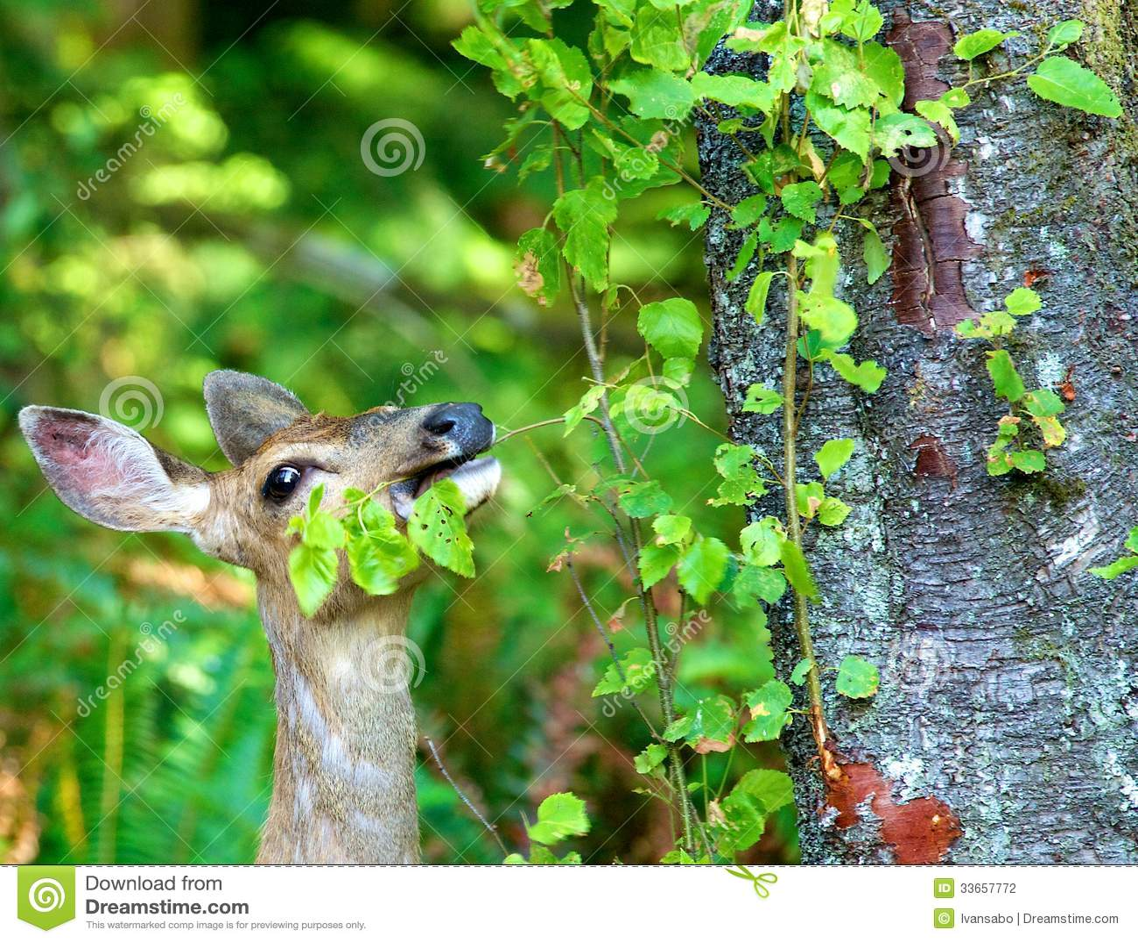 Cerfs communs de mule mangeant des feuilles photographie for Photographie de stock