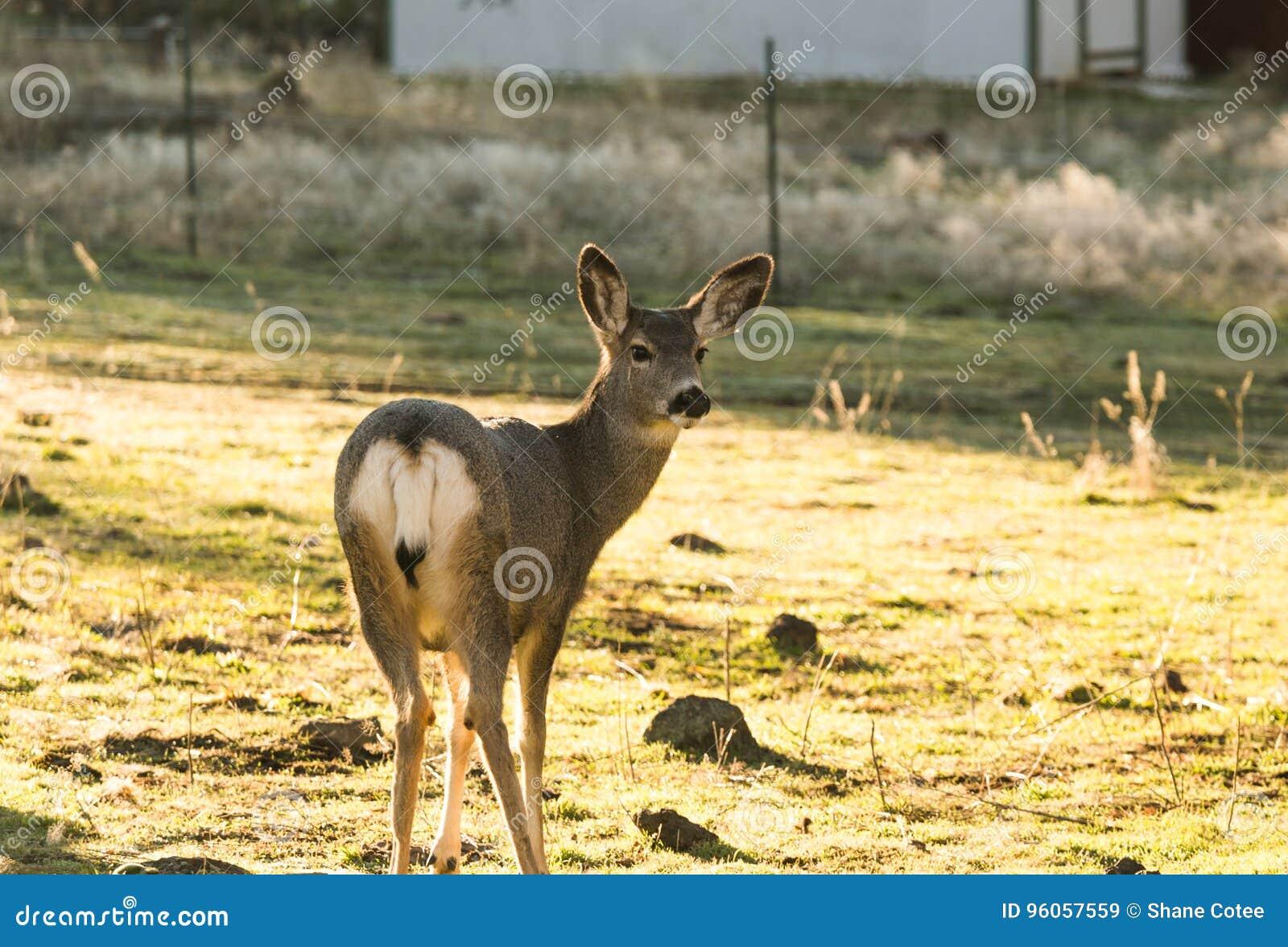 Cerfs communs de mule se tenant dans la cour à la maison