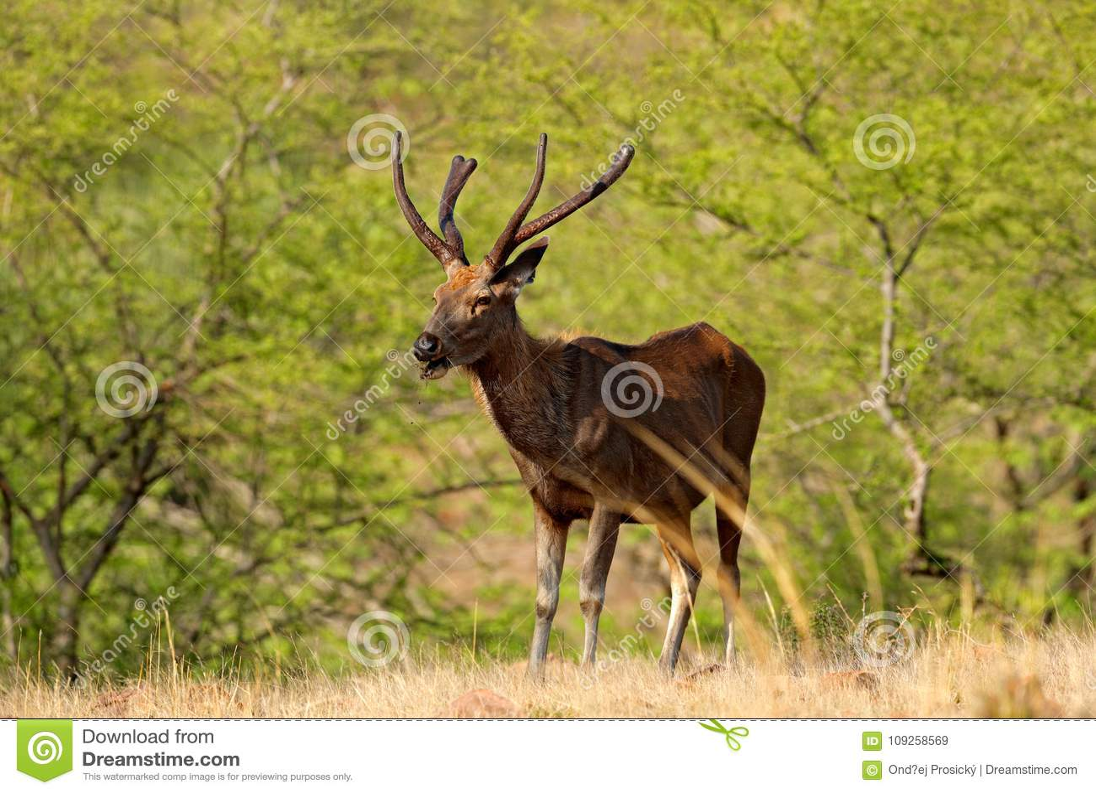 Cerfs communs de Sambar, Rusa unicolore, grand animal, sous-continent indien, Rathambore, Inde Cerfs communs, habitat de nature S