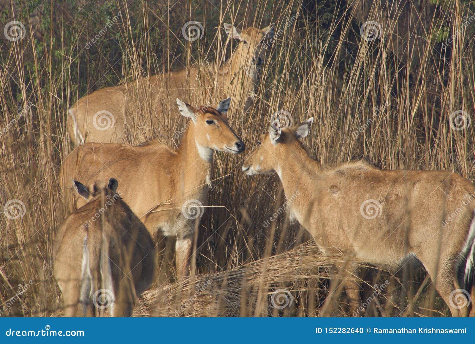 Cerfs communs de Sambhar dans la réserve naturelle