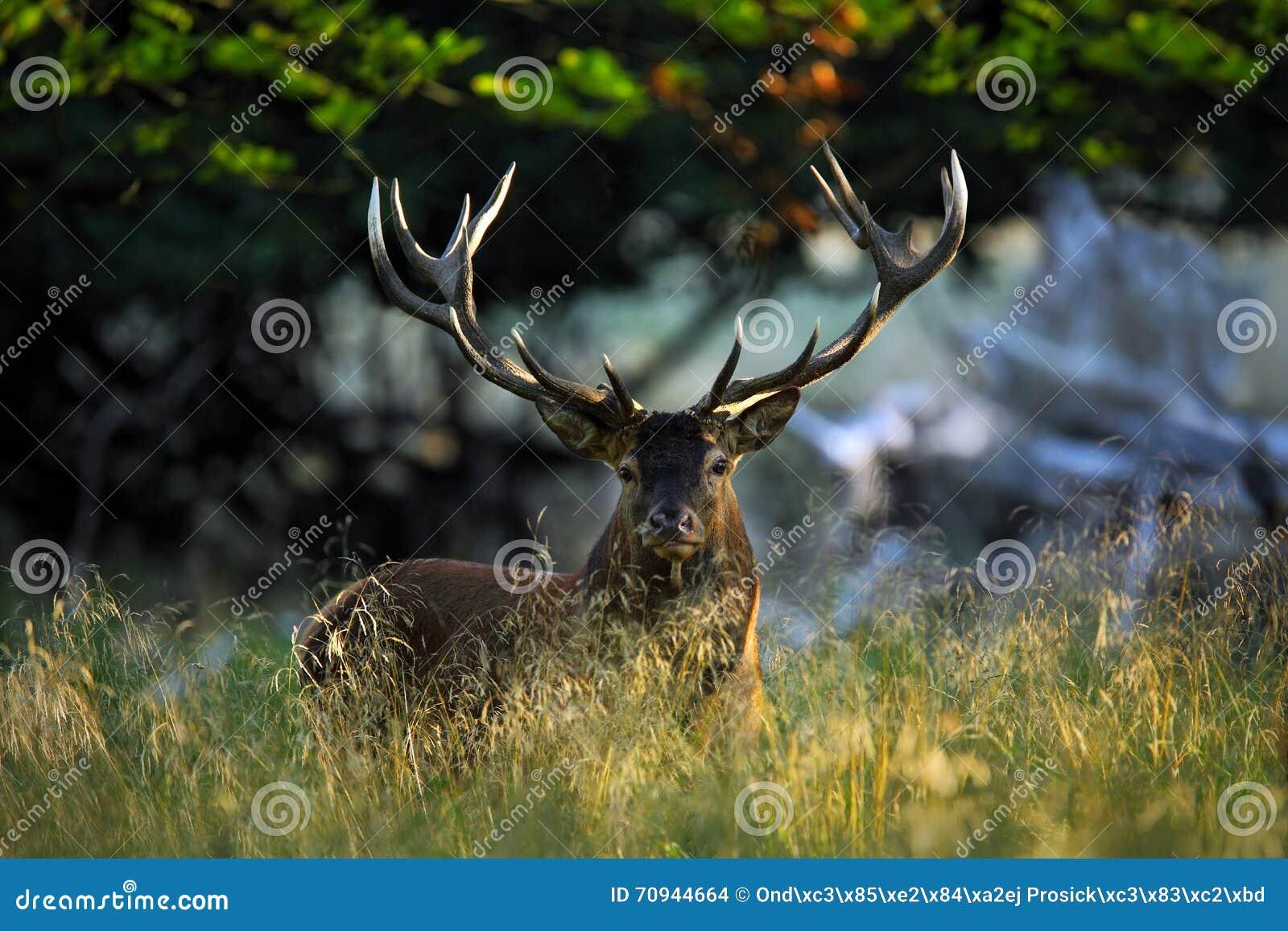 Cerfs communs, mâle adulte puissant majestueux de cerfs communs rouges de soufflet en dehors de forêt d automne, animal se situan