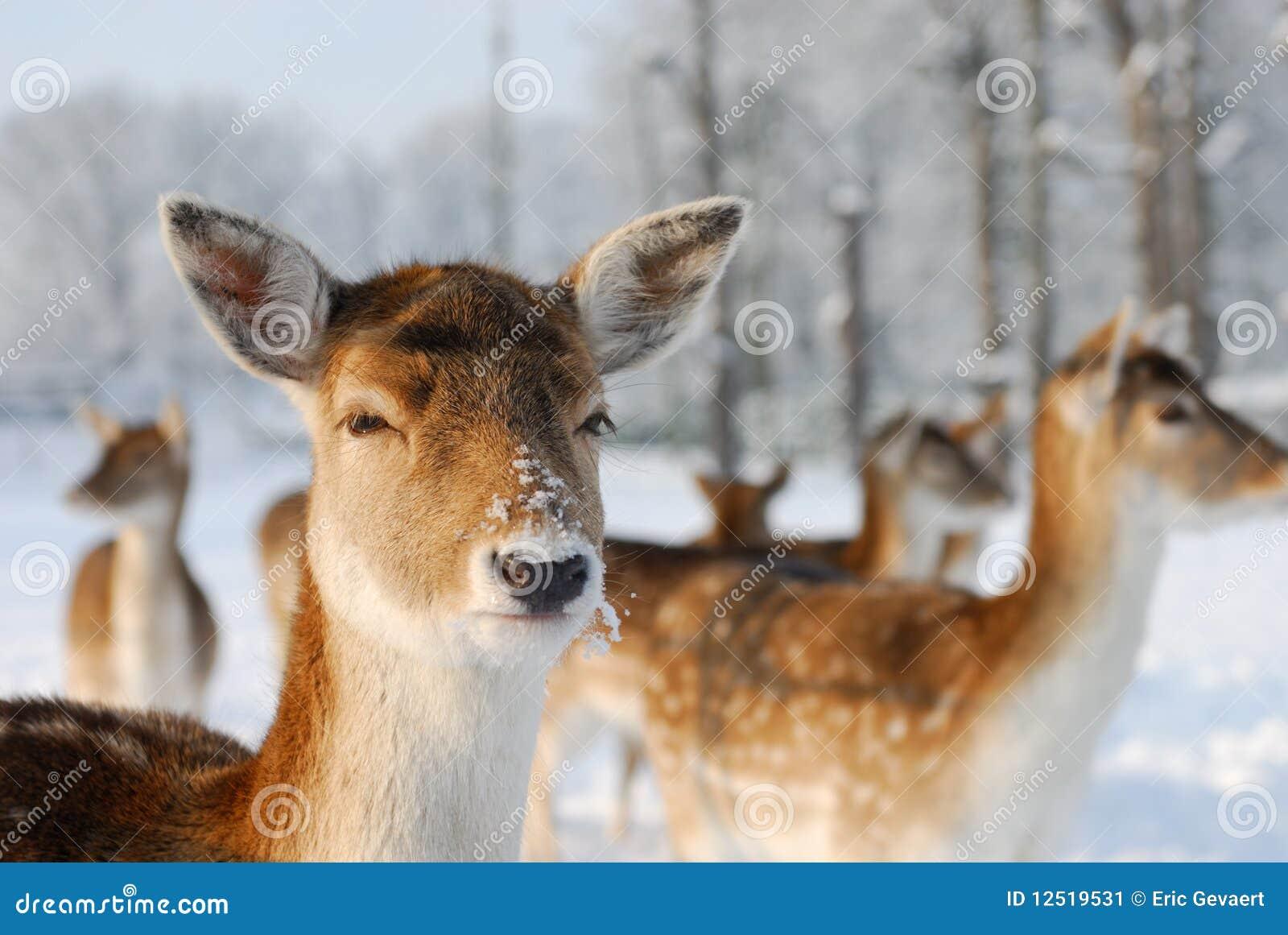 Cerfs communs mignons en hiver