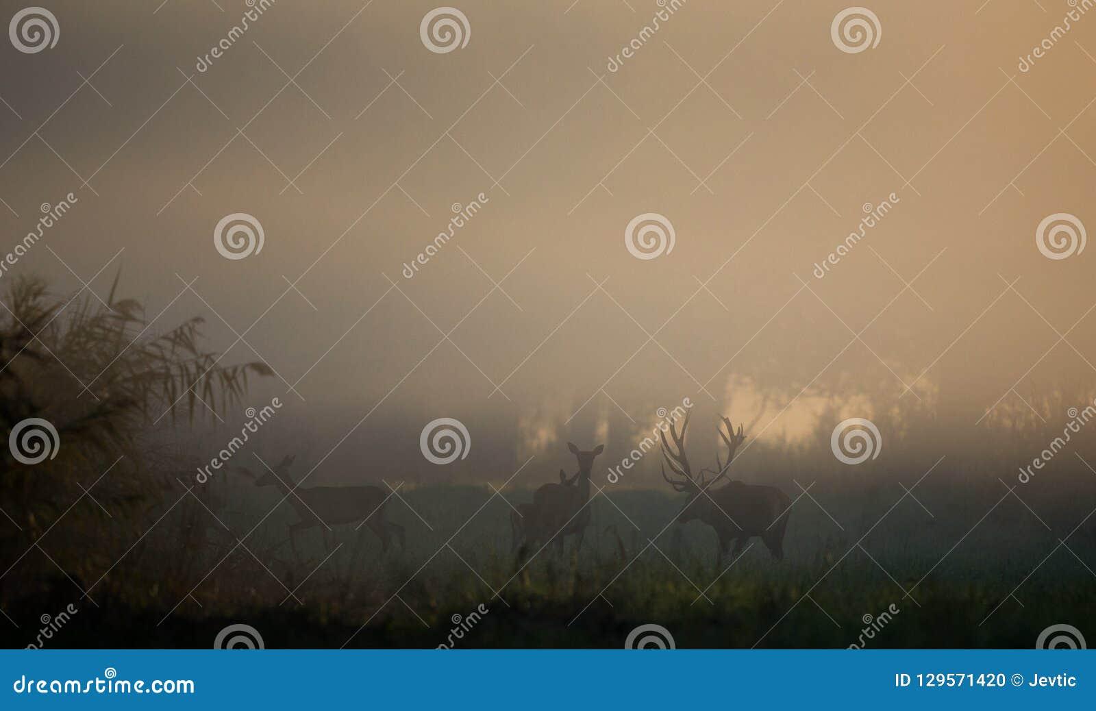 Cerfs communs rouges avec des hinds dans la forêt