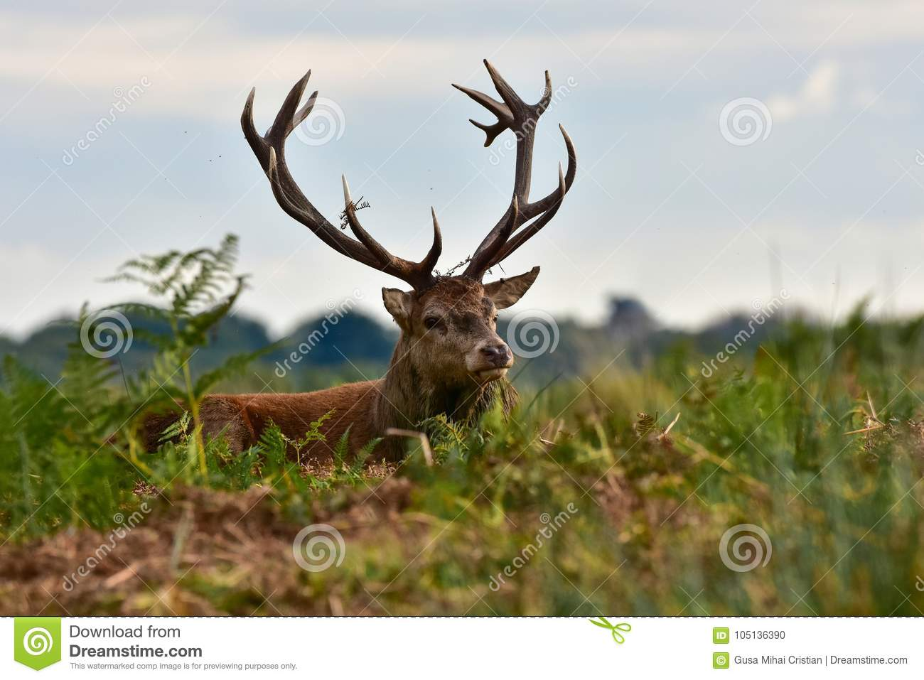Cerfs communs rouges, elaphus de cervus