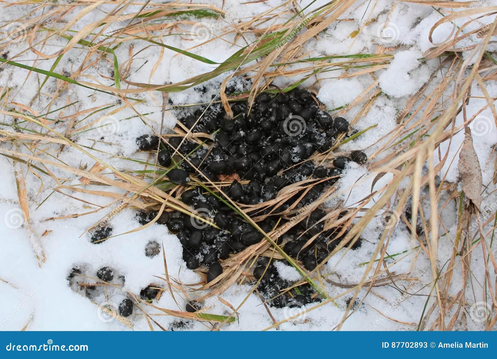 Cerfs communs Scat de queue blanche dans la neige