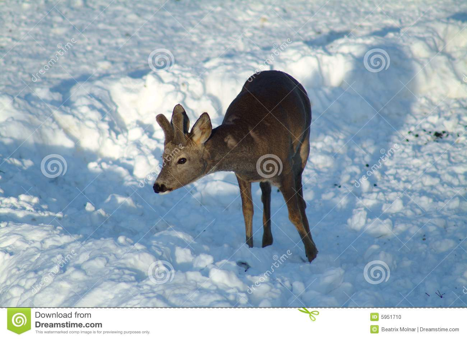 Cerfs communs sur la neige