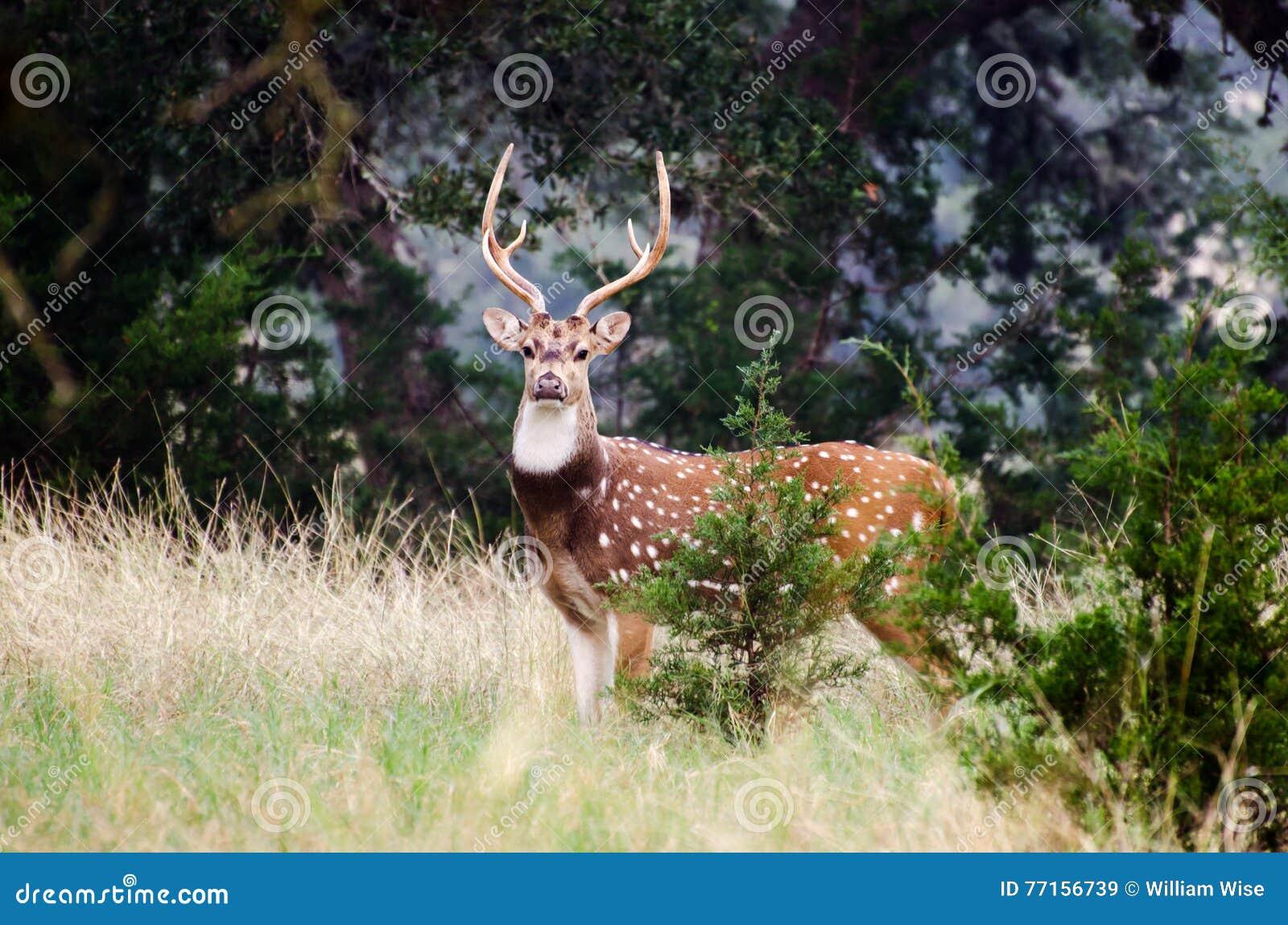 Cerfs communs Texas Hill Country d axe