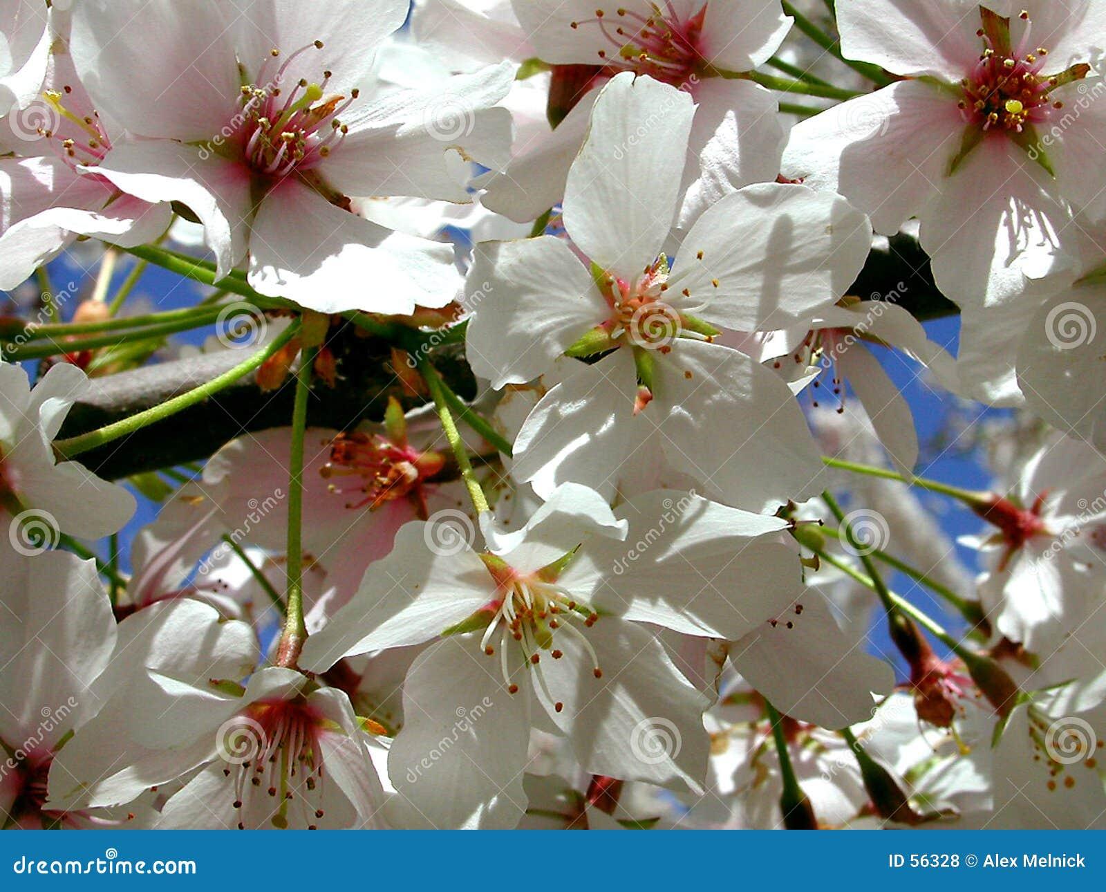 Download Cerise Blossums photo stock. Image du milieux, blanc, fleurs - 56328