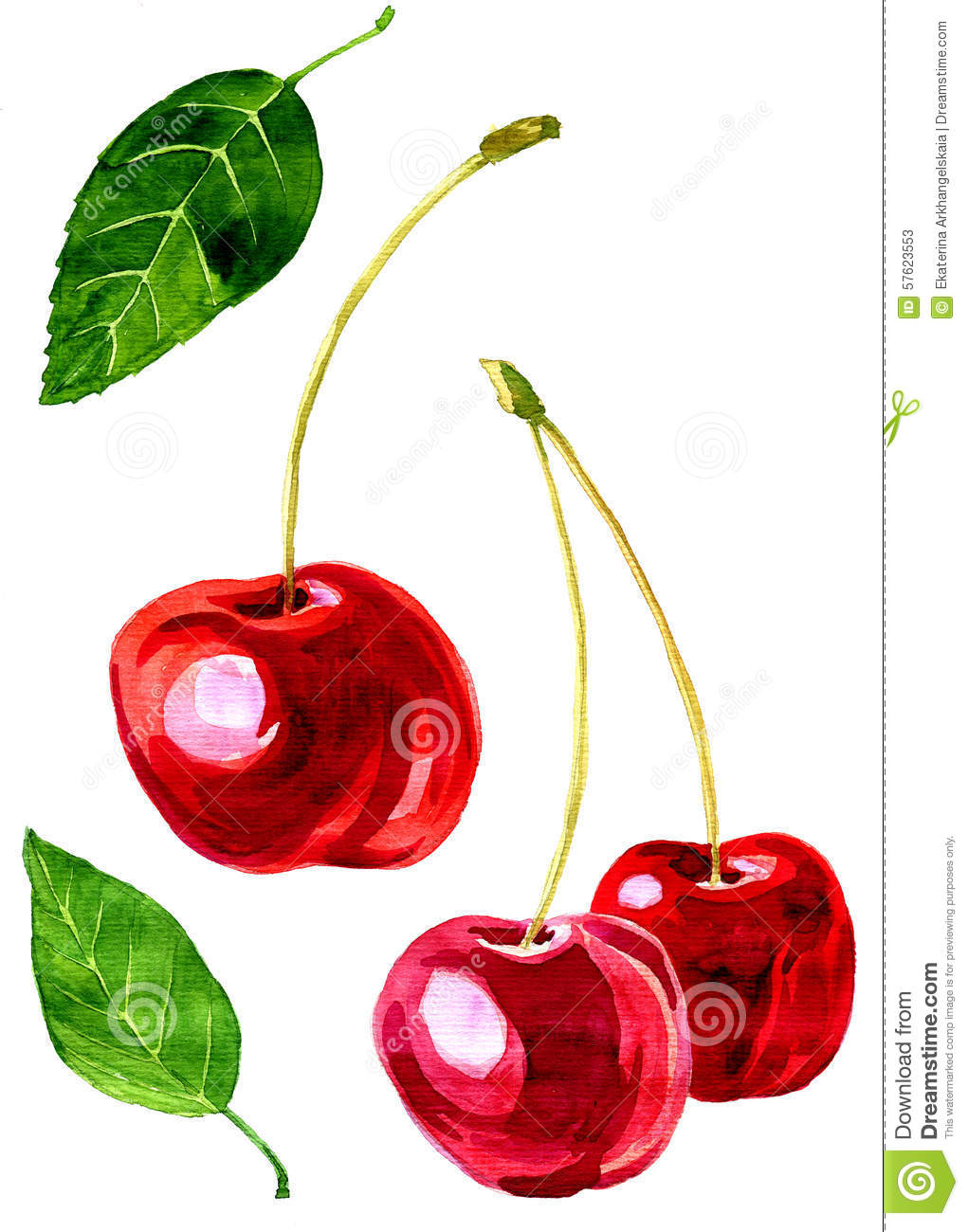 Cerise de dessin d 39 aquarelle illustration stock illustration du jardin manger 57623553 - Dessin cerise ...