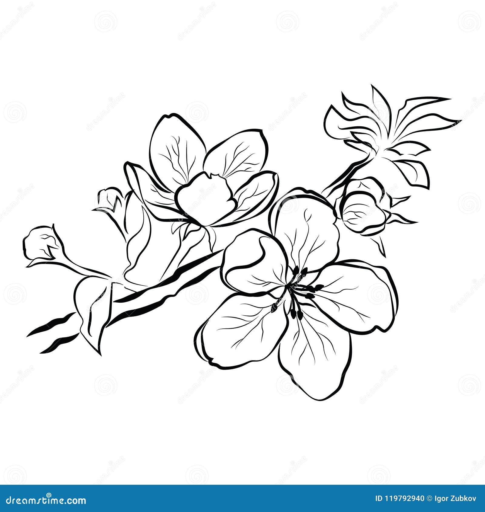 cerise de floraison branche de sakura avec des bourgeon floraux dessin noir et blanc d 39 un arbre. Black Bedroom Furniture Sets. Home Design Ideas