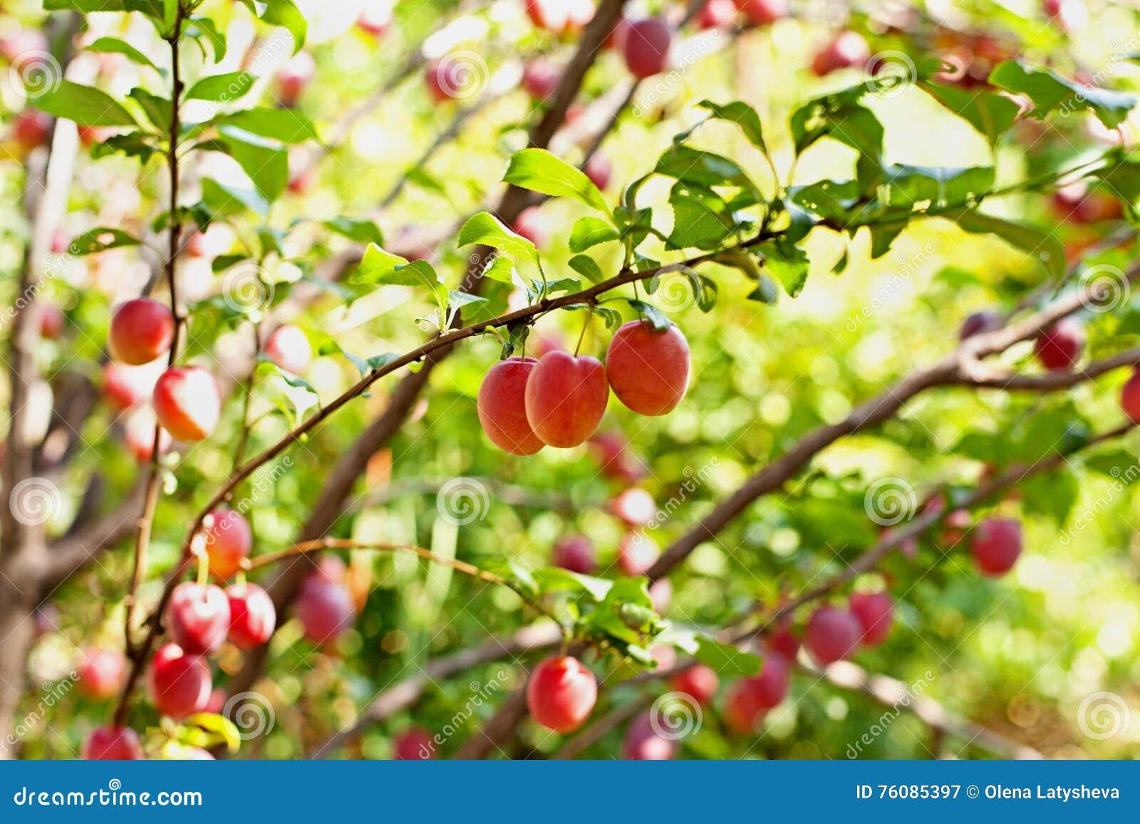 Cerise-prunes sur les branches