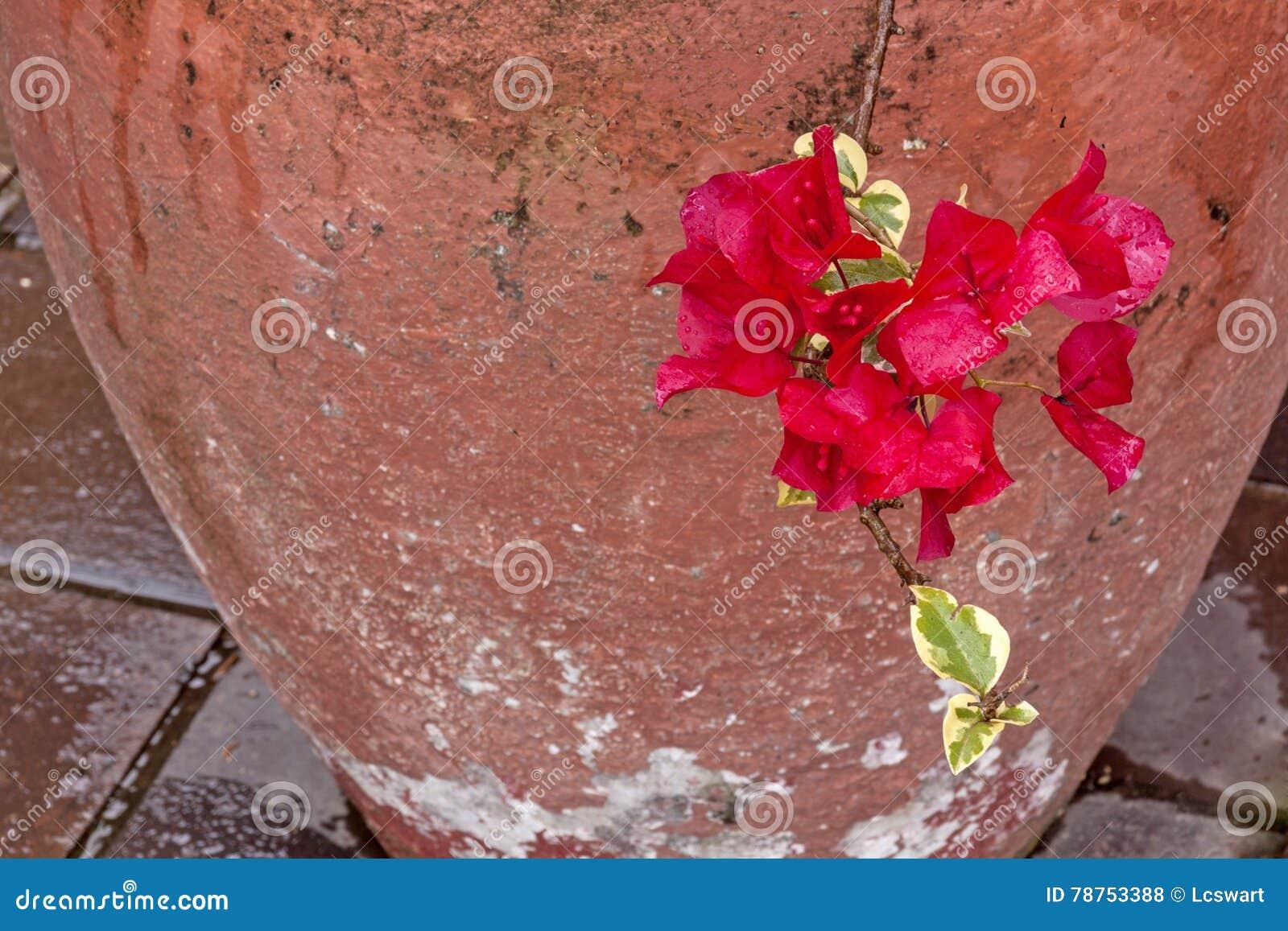 Cerise Wet Bougainvillea Flowers med den målade cementkrukan