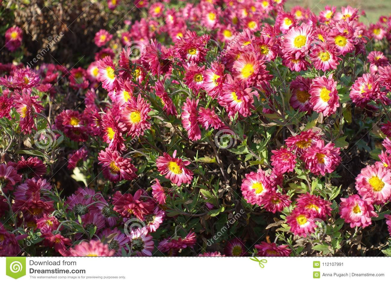 Cerise And White Daisy Like Flowers Of Chrysanthemum Stock Image