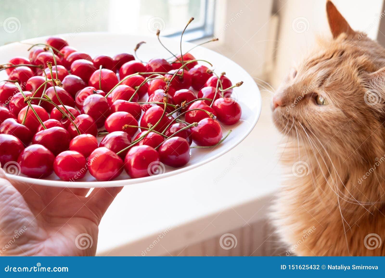 Cerises de offre à la vue de côté de chat rouge