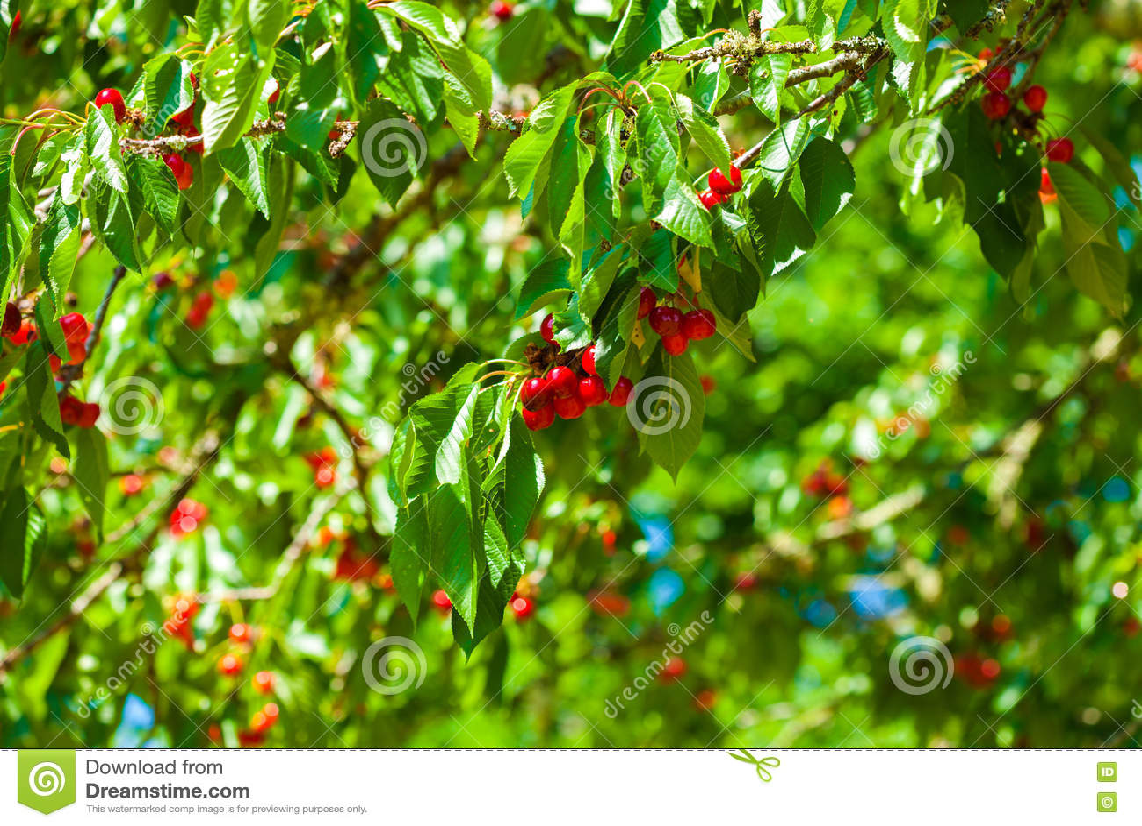 Cerises rouges s élevant sur l arbre au soleil