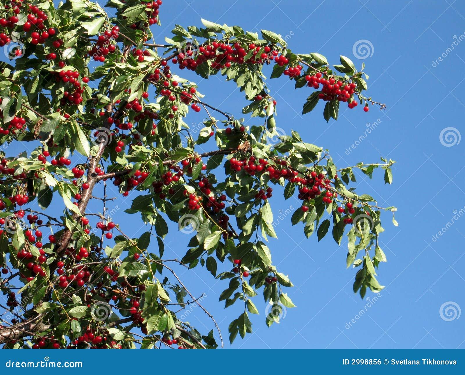 Cerises rouges sur un arbre