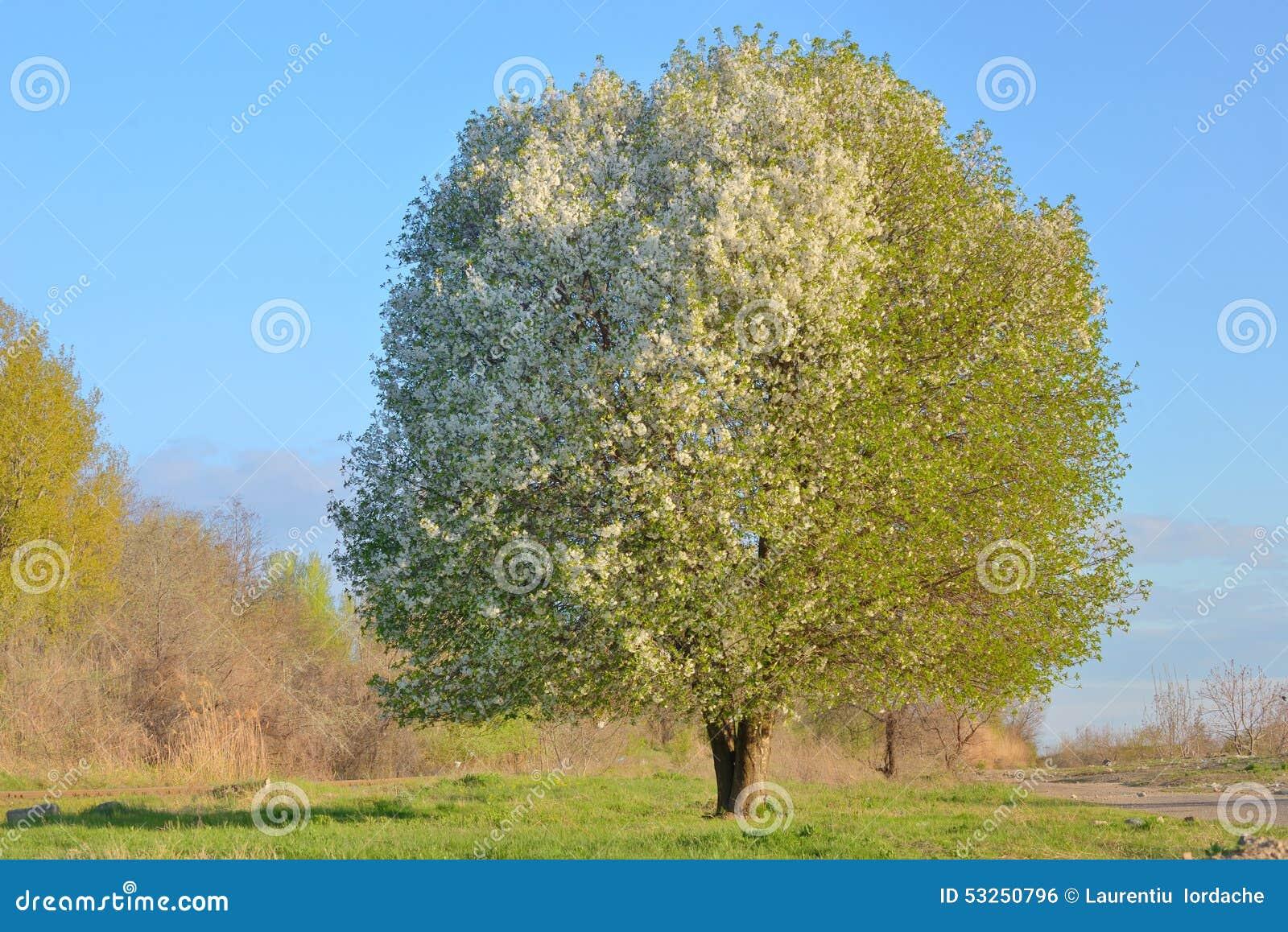 cerisier de floraison blanc photo stock image 53250796. Black Bedroom Furniture Sets. Home Design Ideas