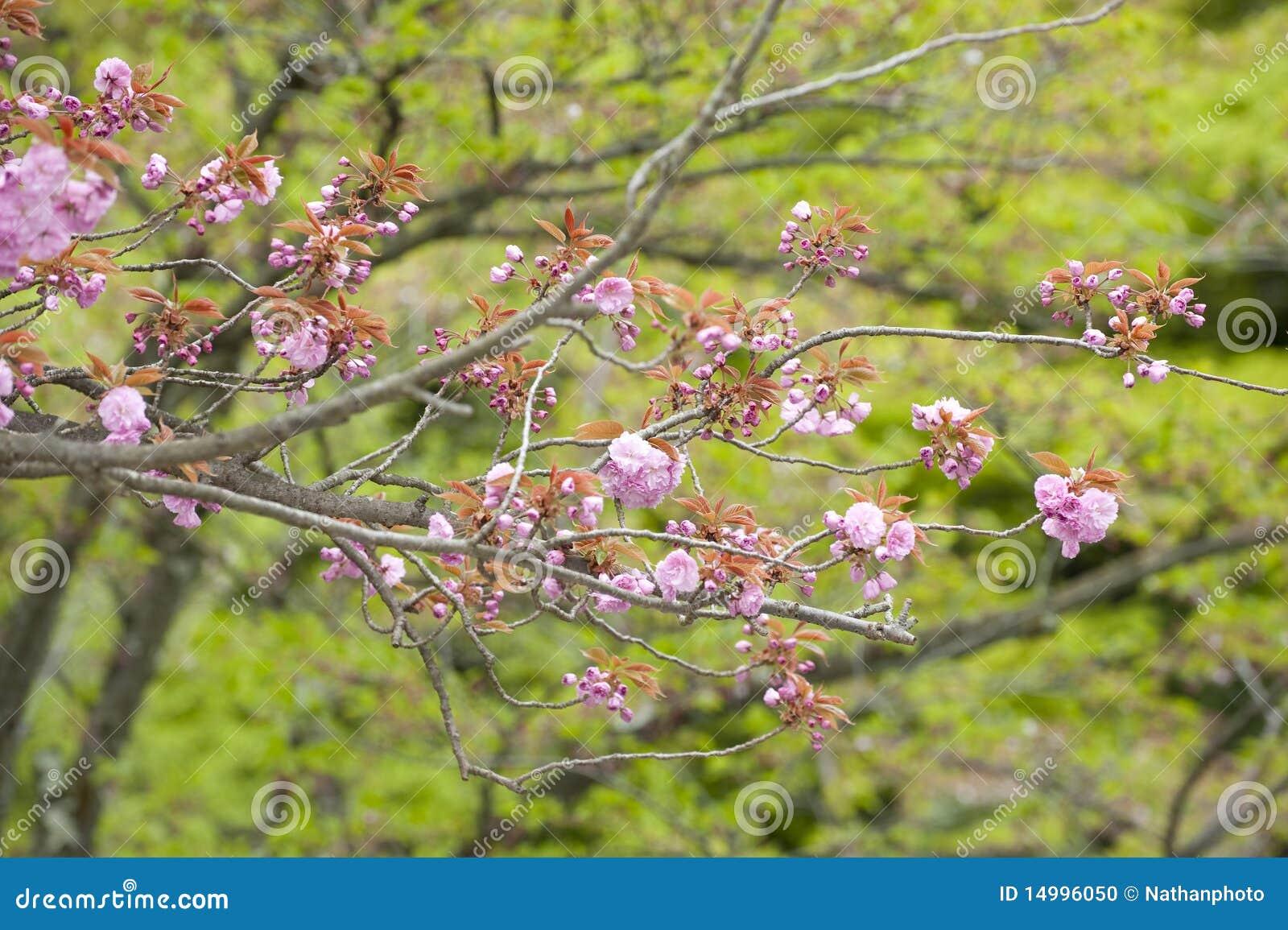 Cerisier de floraison printemps japon photo stock image du rose arbre 14996050 - Arbre rose japon ...
