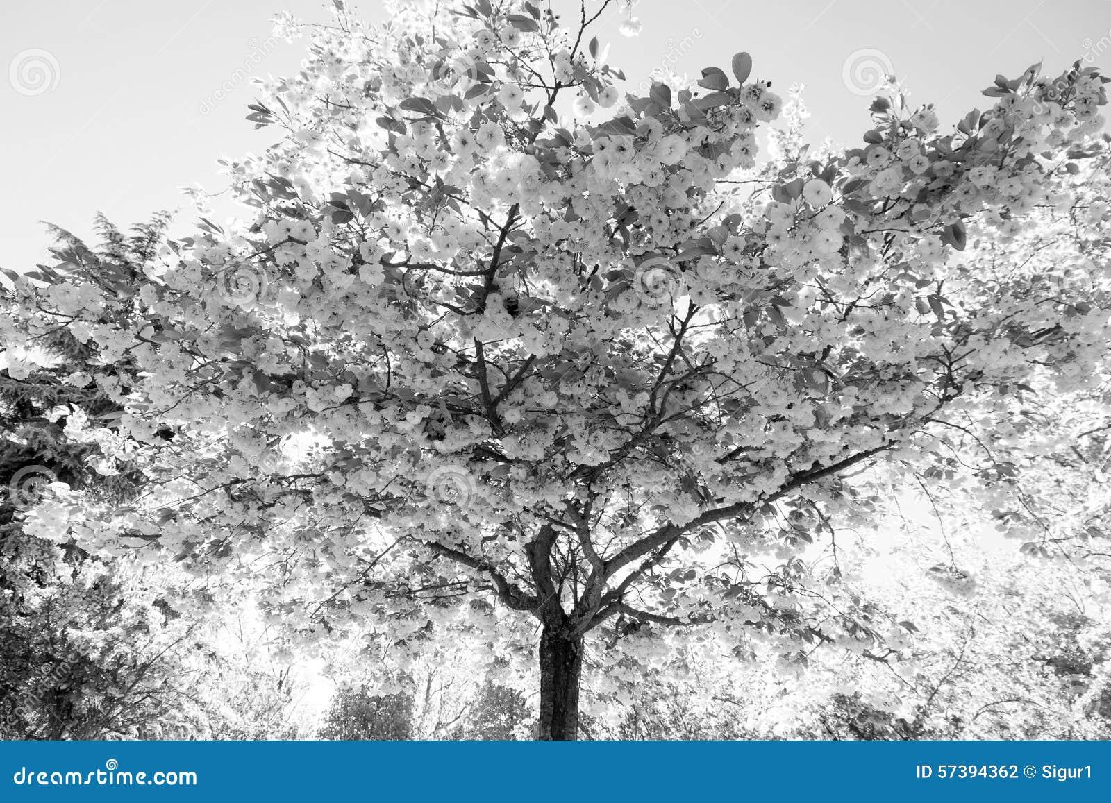 cerisier japonais avec des fleurs photo stock image 57394362. Black Bedroom Furniture Sets. Home Design Ideas