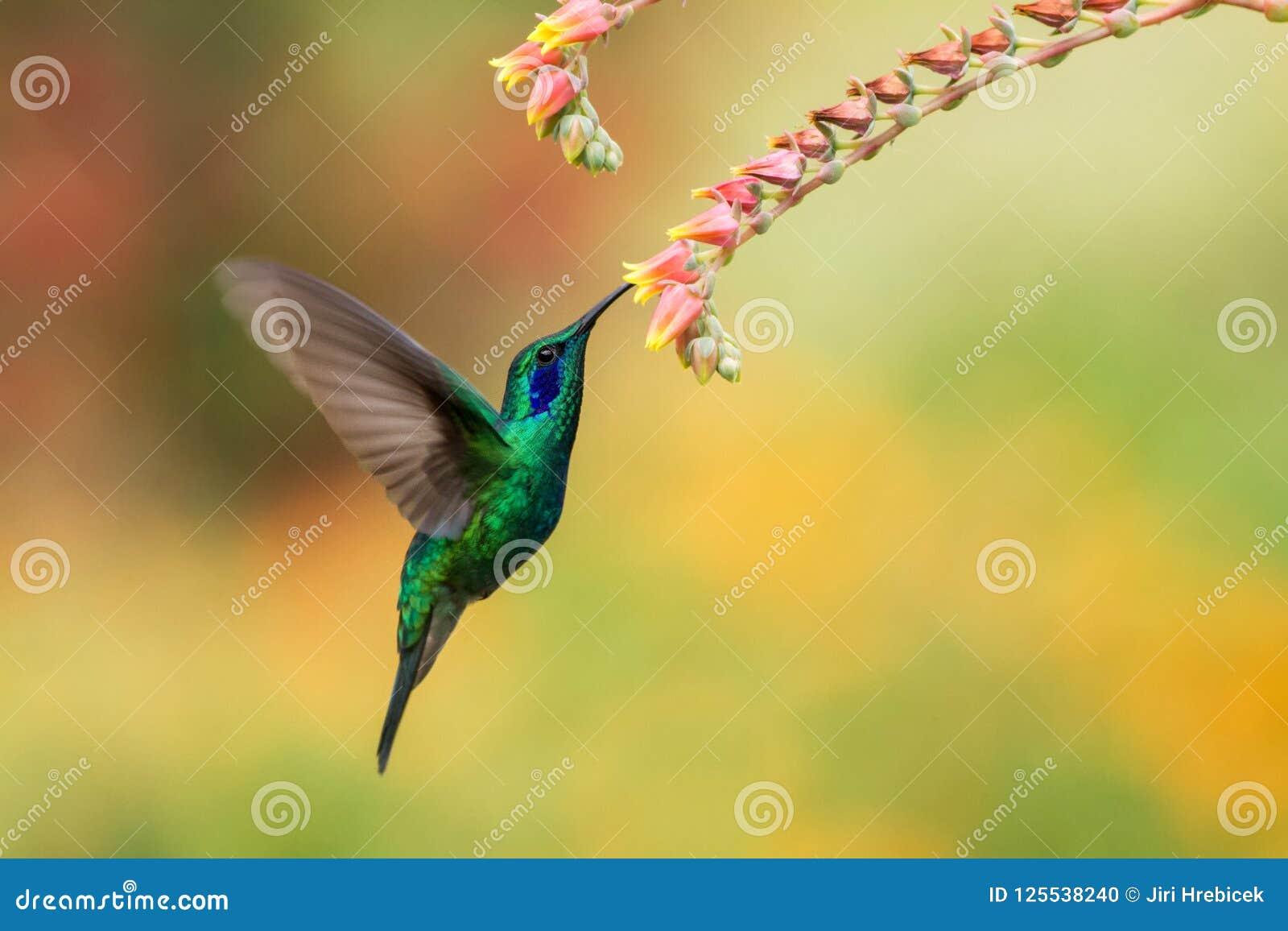 Cernido violetear verde al lado de la flor roja, pájaro en vuelo, bosque tropical de la montaña, Costa Rica