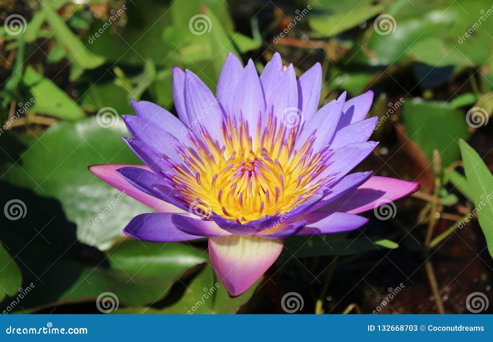 Cerrado encima de Lotus Flower Blooming púrpura vibrante en la luz del sol con las hojas verdes borrosas en fondo