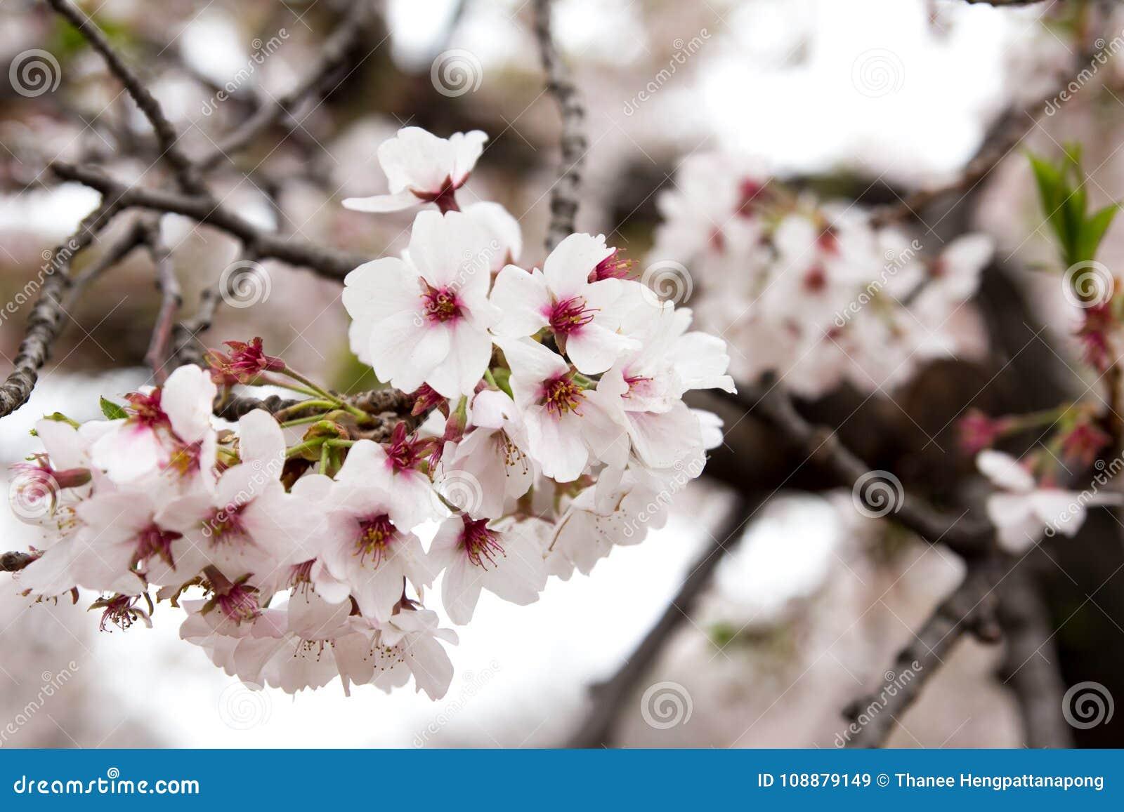 Cerrado Para Arriba De La Flor De Cerezo De Sakura Imagen De Archivo