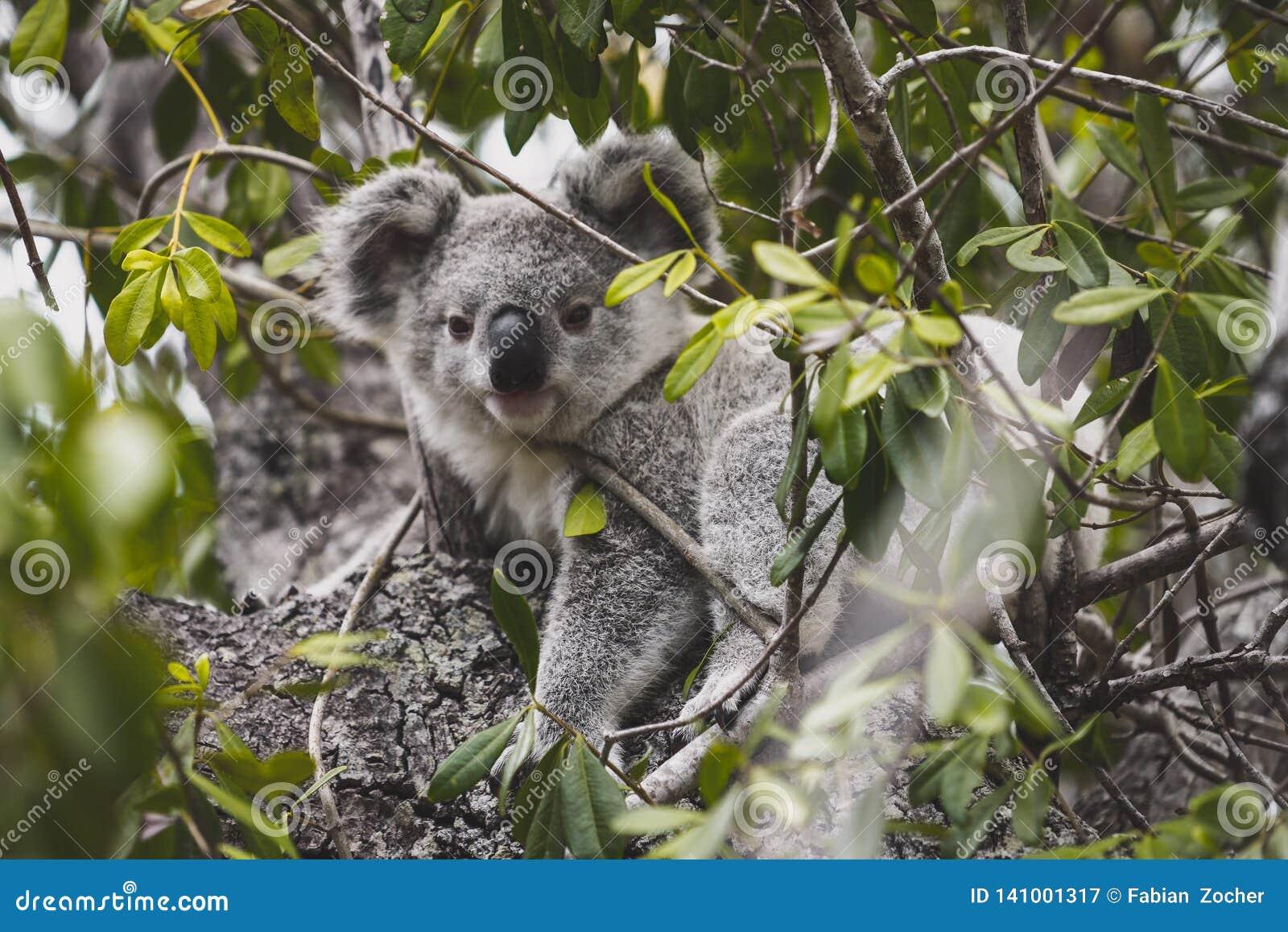 Cerveja da coala na árvore
