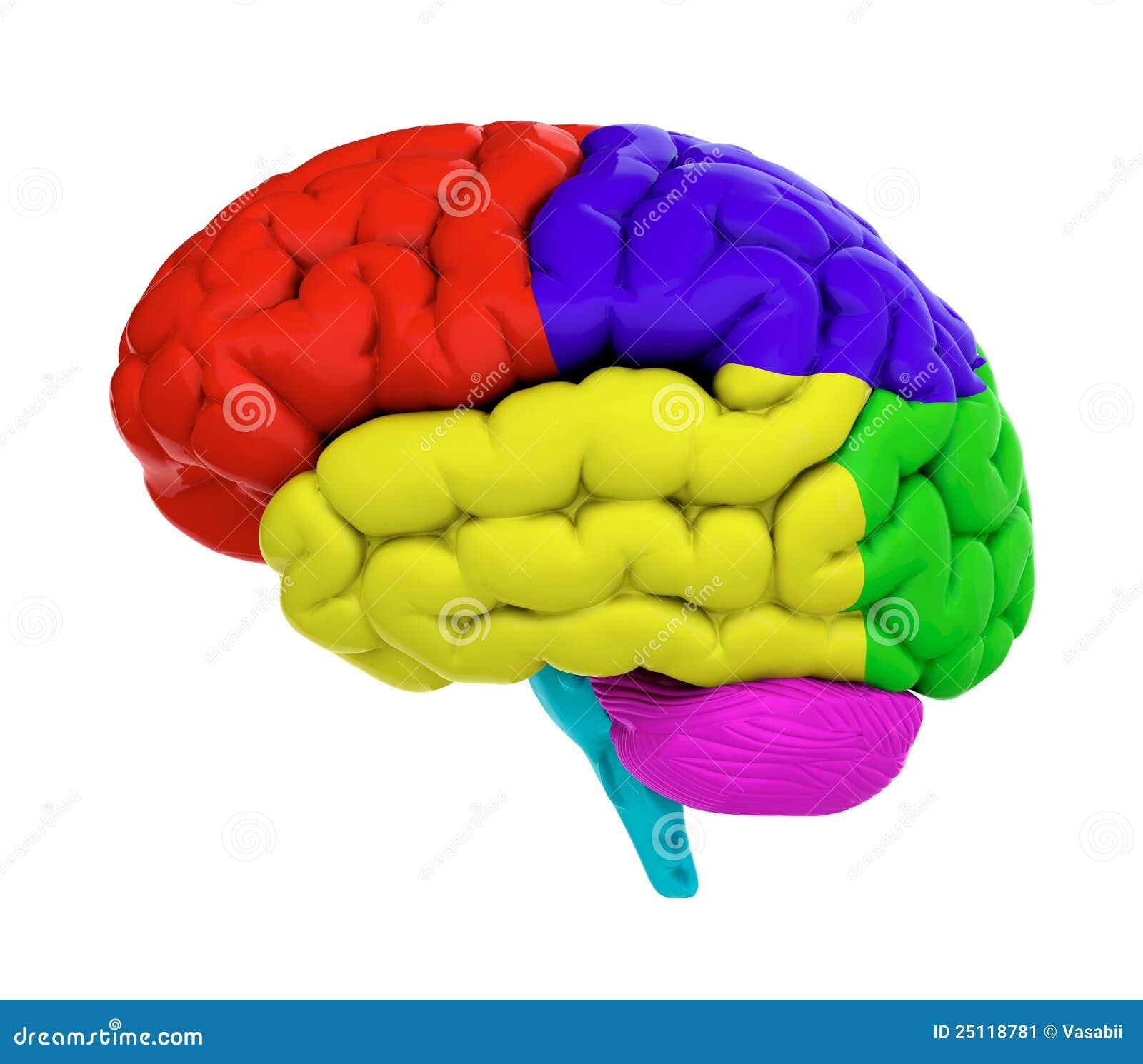 Cervello Colorato Immagine Stock Immagine 25118781