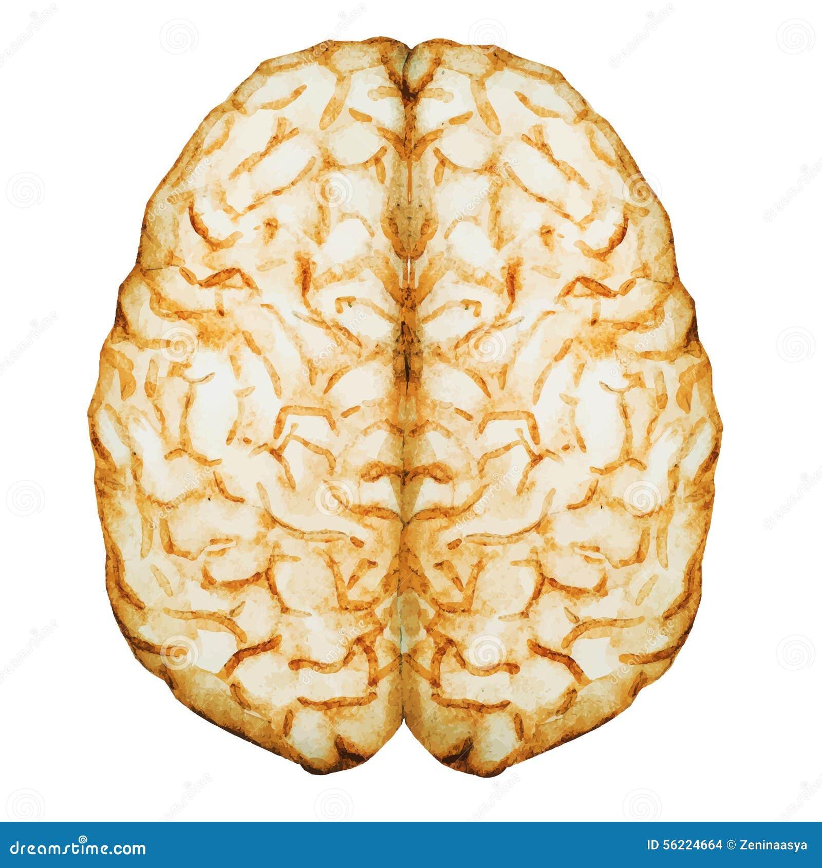 Cervello dell acquerello