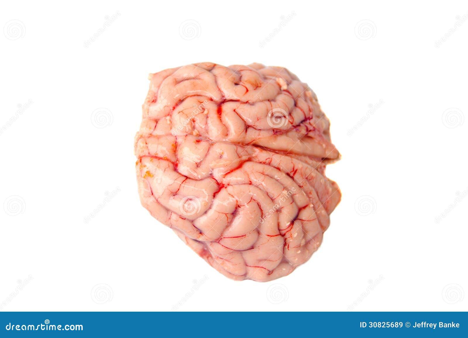 Cervello di un cervo con coda nera