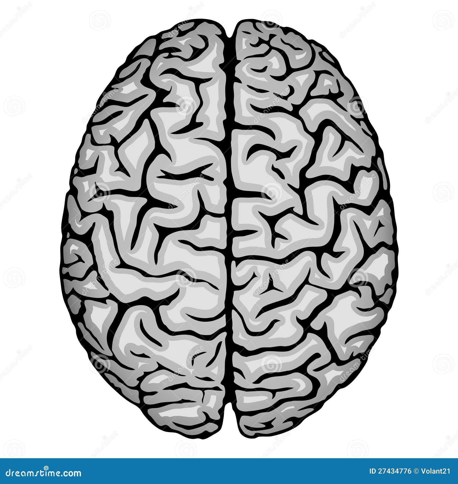 Cervello umano illustrazione vettoriale immagine di for Immagini vector