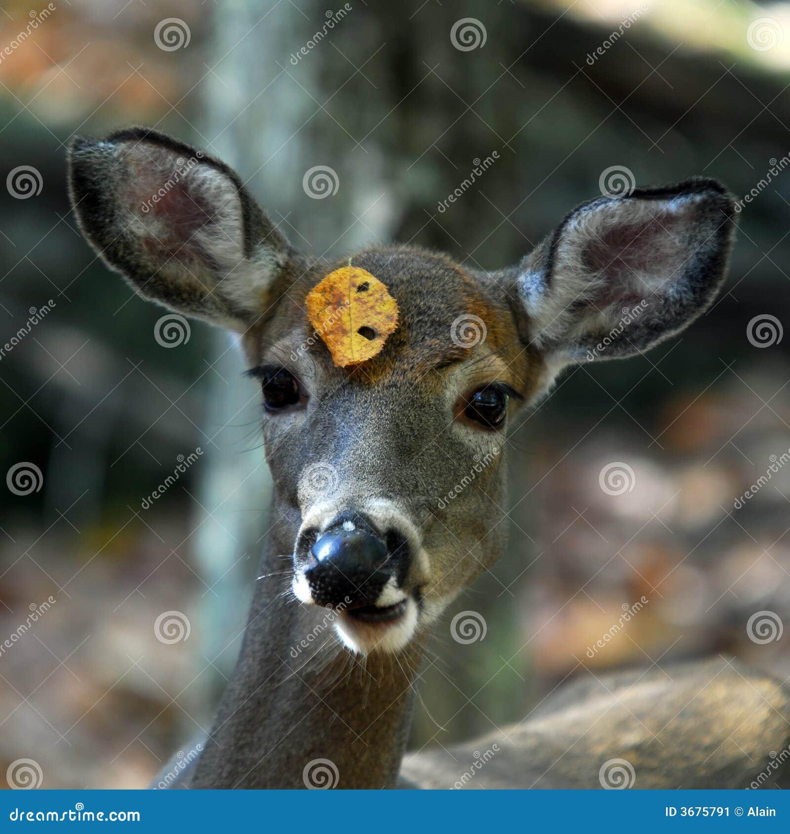 Download Cervi Bianco-muniti (virginianus Del Odocoileus) Immagine Stock - Immagine di wildlife, nave: 3675791