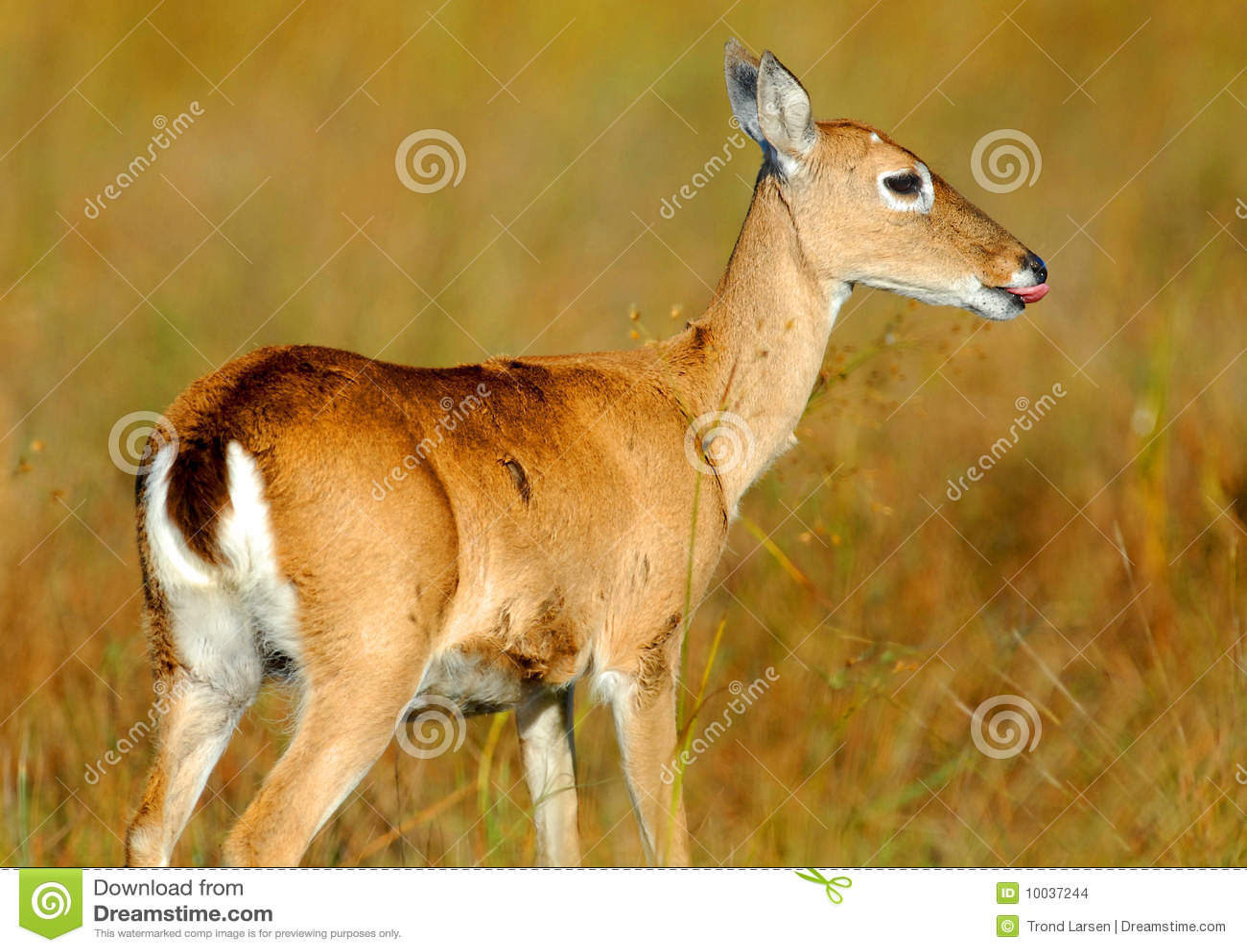 Cervi della pampa che mangiano erba fotografia stock for Erba della pampas riproduzione