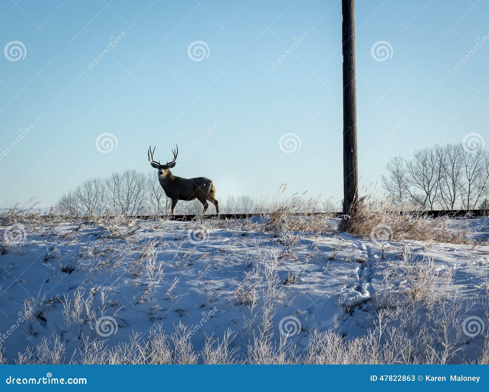 Cervi di Whitetail maschii