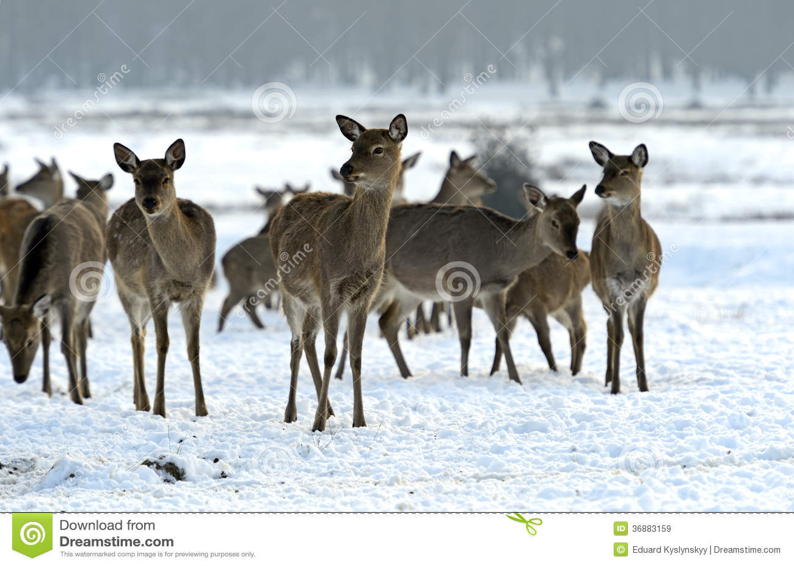 Download Cervi macchiati immagine stock. Immagine di neve, wildlife - 36883159