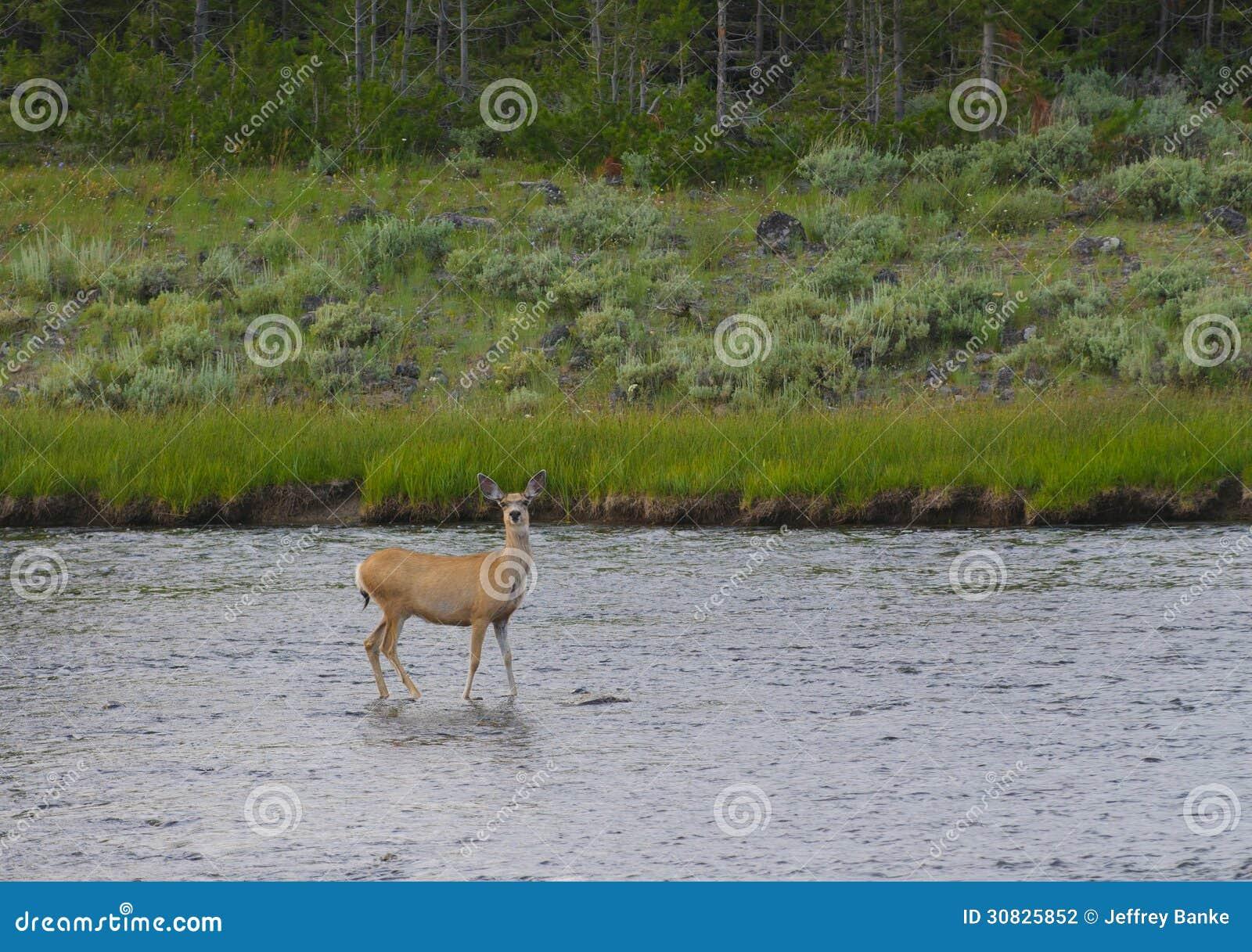 Cervi muli femminili in fiume