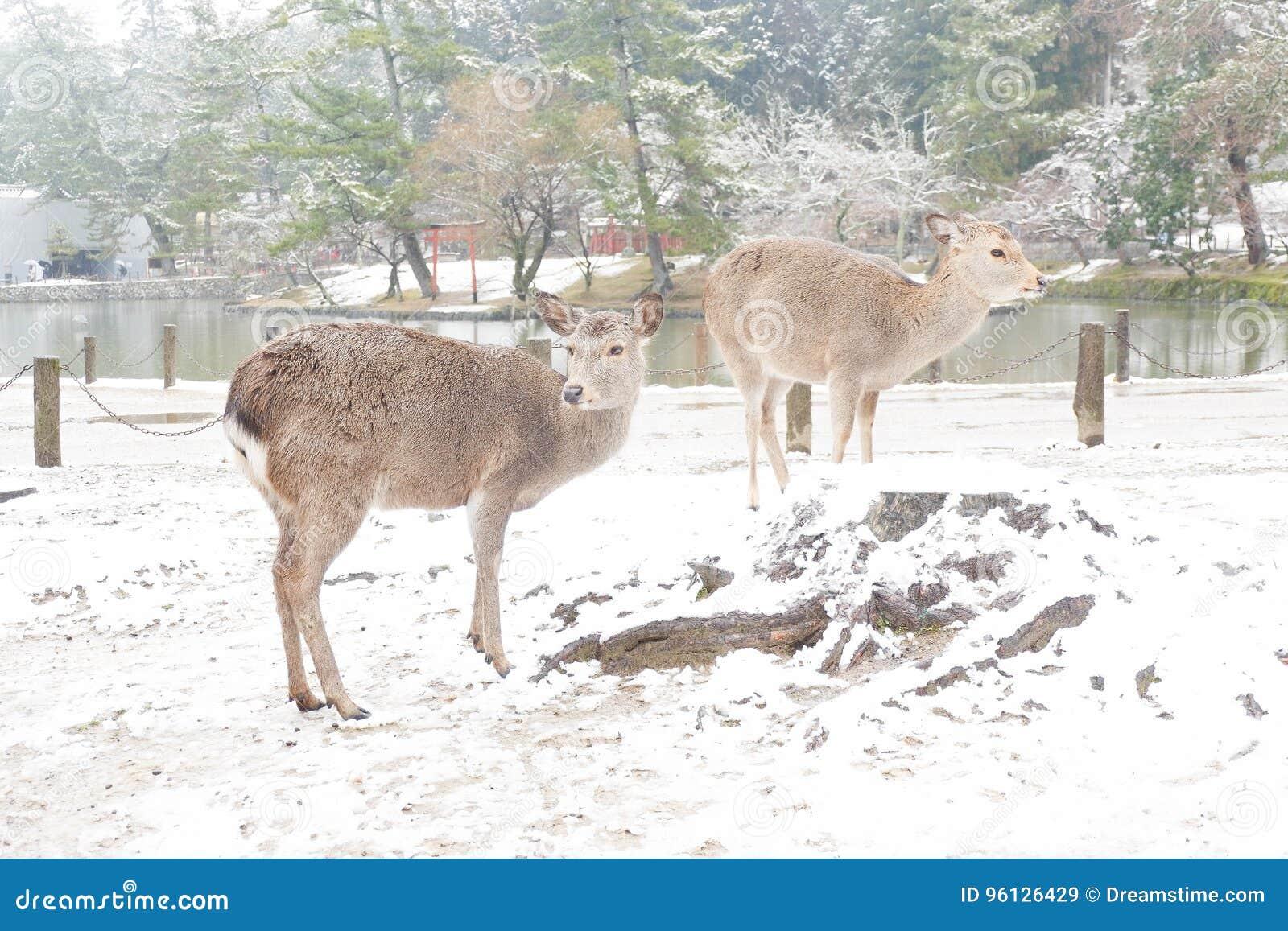Cervi a Nara Park