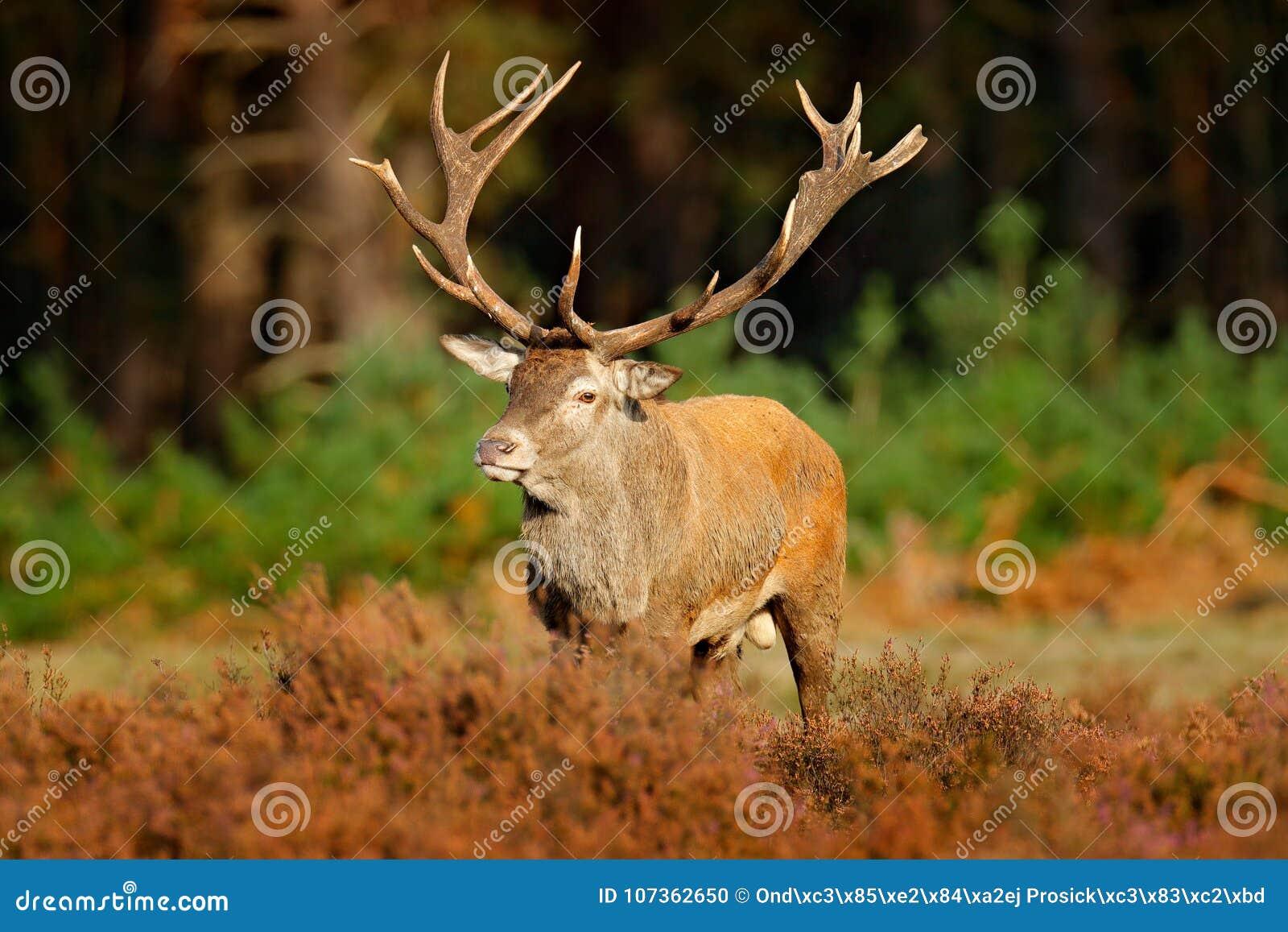 Cervi nobili, calore, Hoge Veluwe, Paesi Bassi Il maschio dei cervi, muggisce l animale potente maestoso fuori di legno, grande a