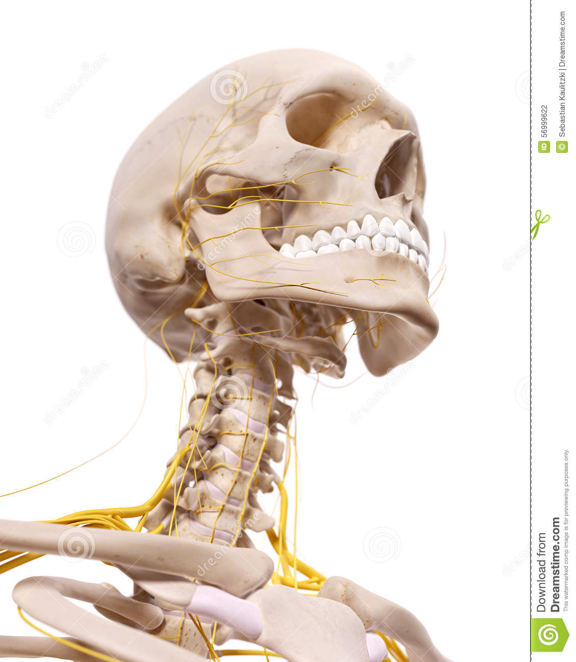 The cervical nerves stock illustration. Illustration of spinal ...