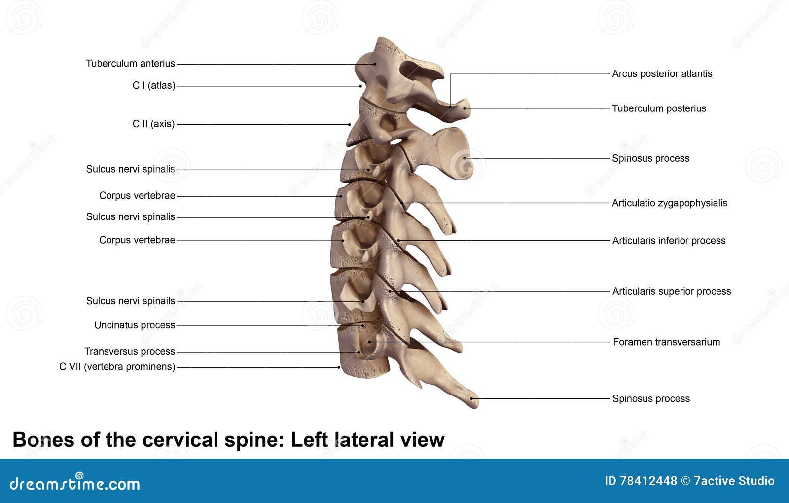 Cervical Spine stock photo. Image of diagram, neck, ligaments - 78412448