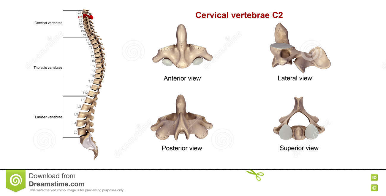 cervical vertebrae c2 stock illustration - image: 78412416, Cephalic Vein