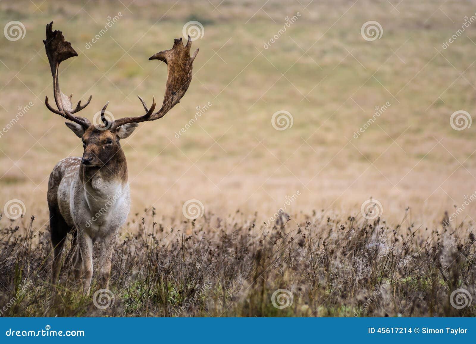 Cervos adultos