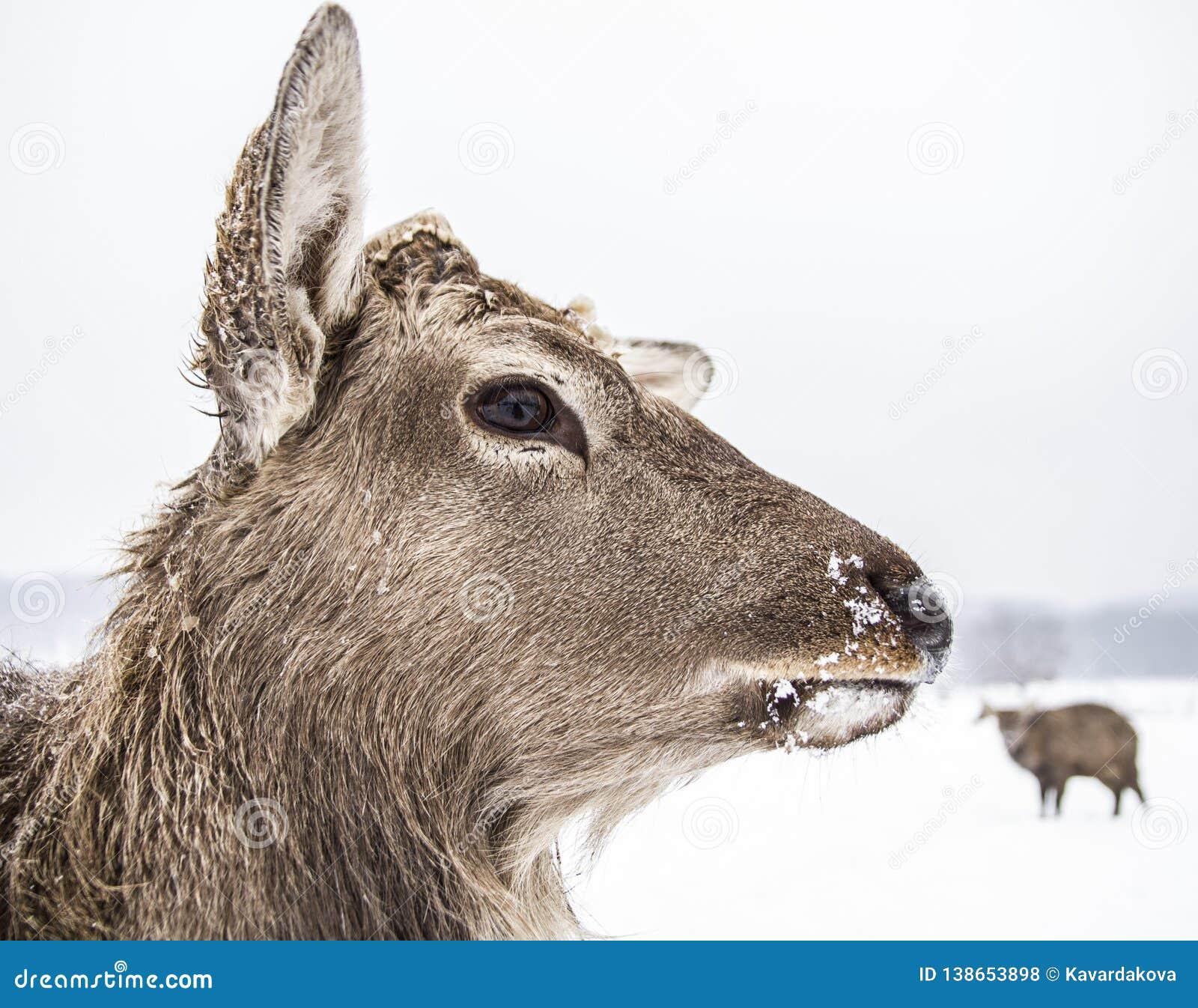 Cervos animais do focinho da floresta do inverno
