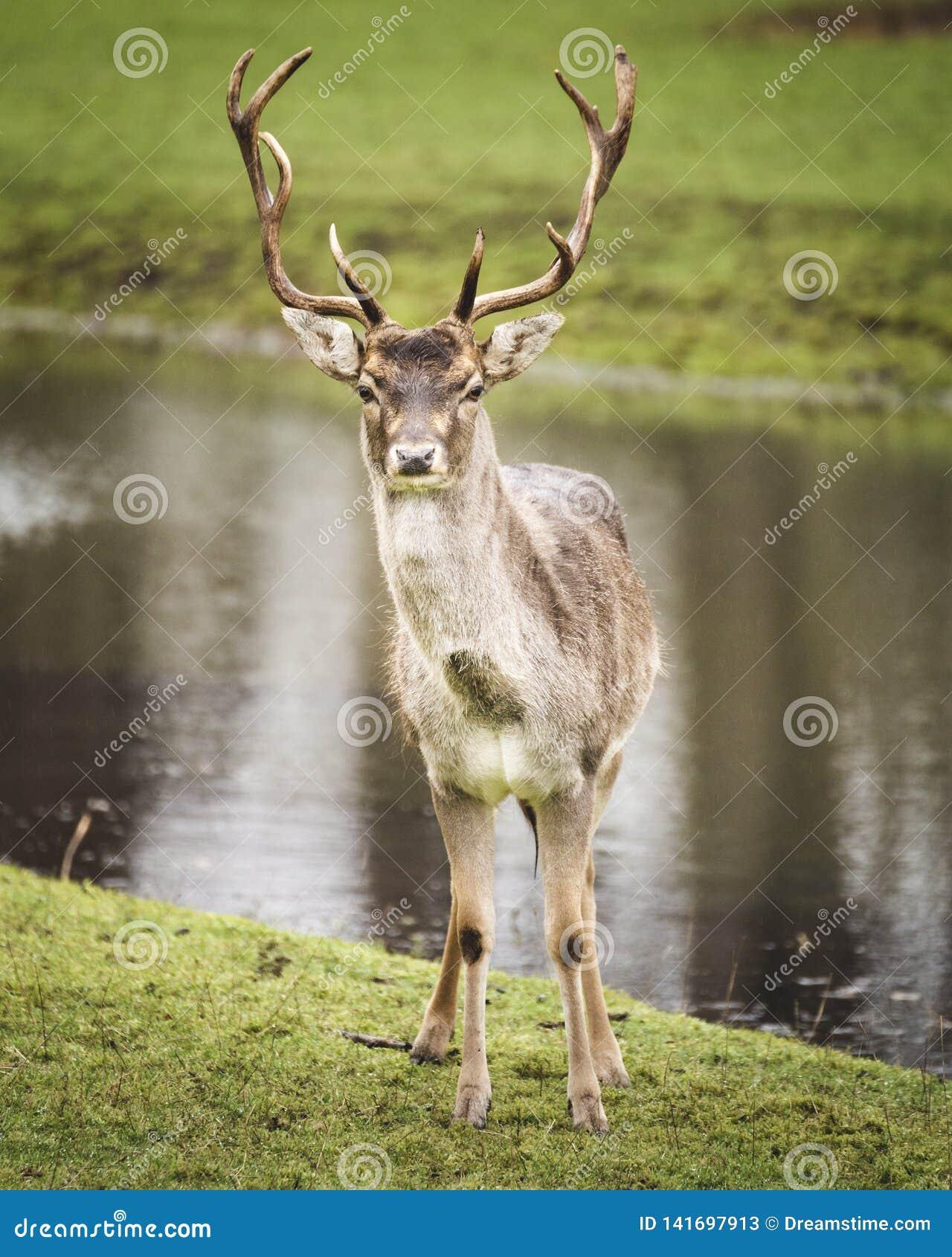Cervos bonitos do veado que olham em linha reta na câmera