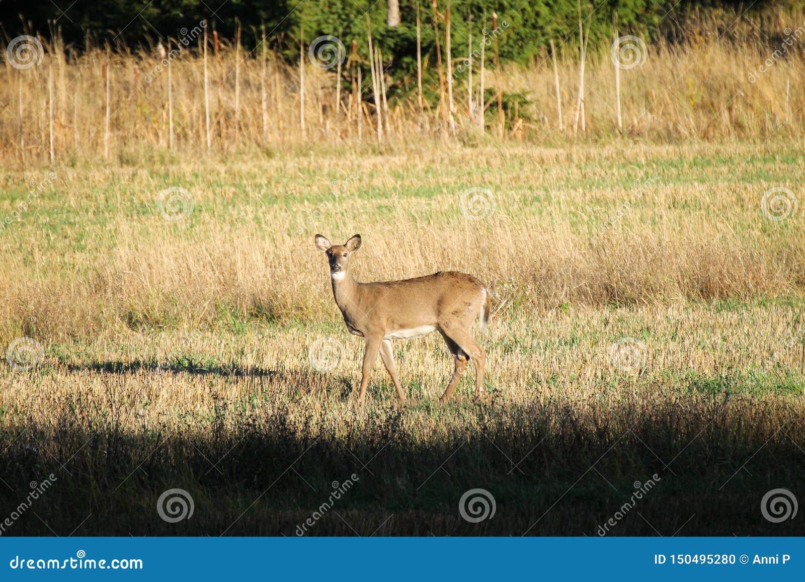 Cervos curiosos no campo