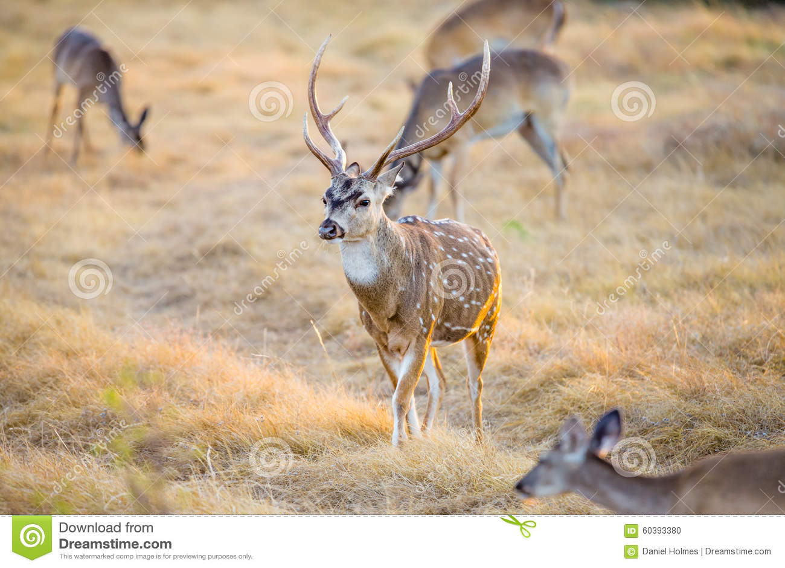 Cervos da linha central