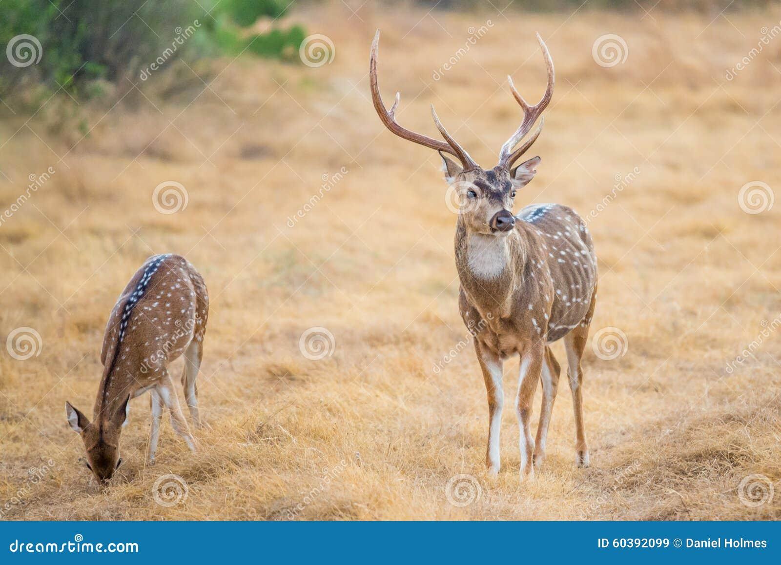 Cervos de Chital