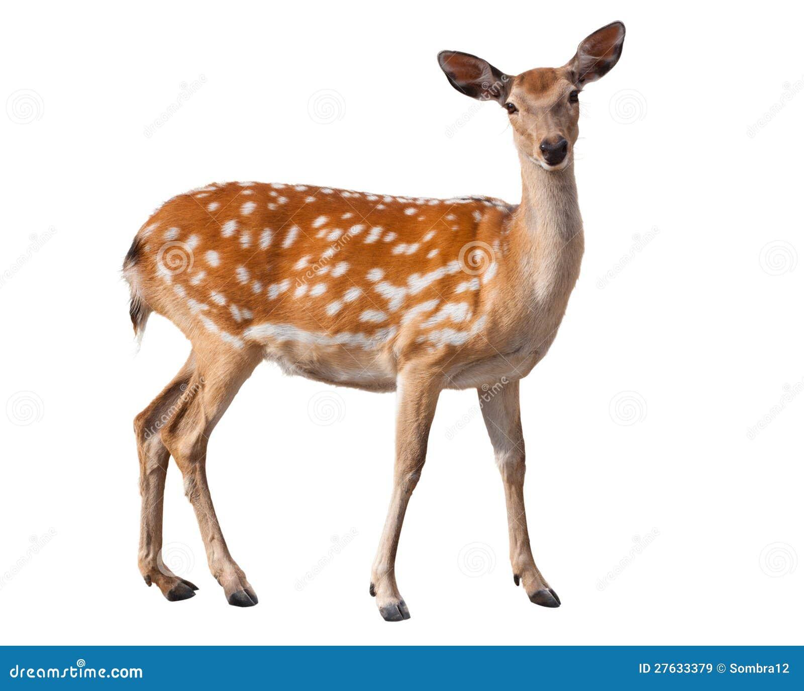 Cervos de Fallow